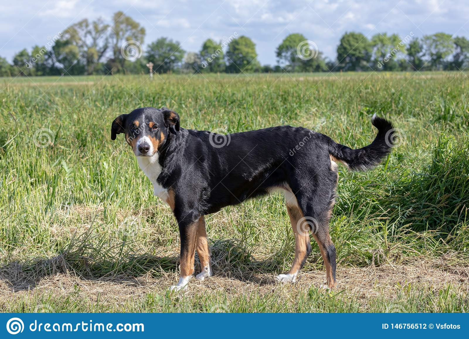 Appenzeller Sennenhund The Dog Is Standing In The Park In