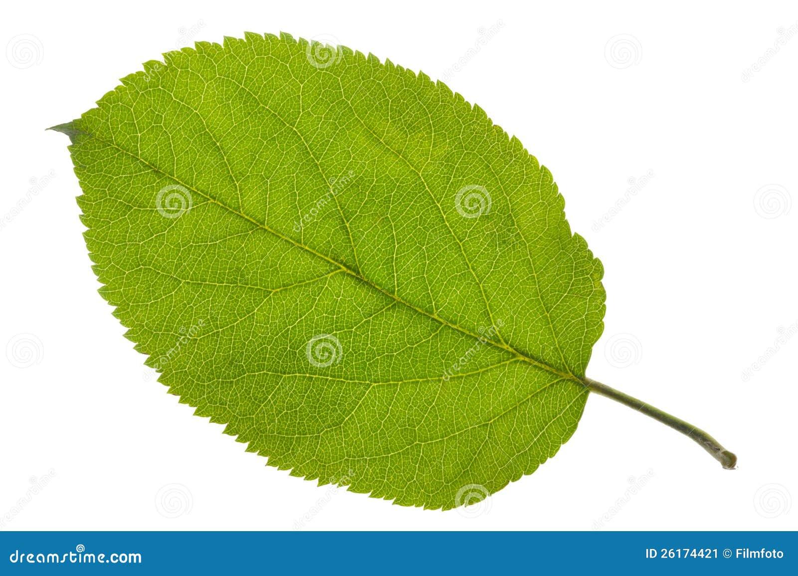 苹果树叶子查出在空白背景.图片