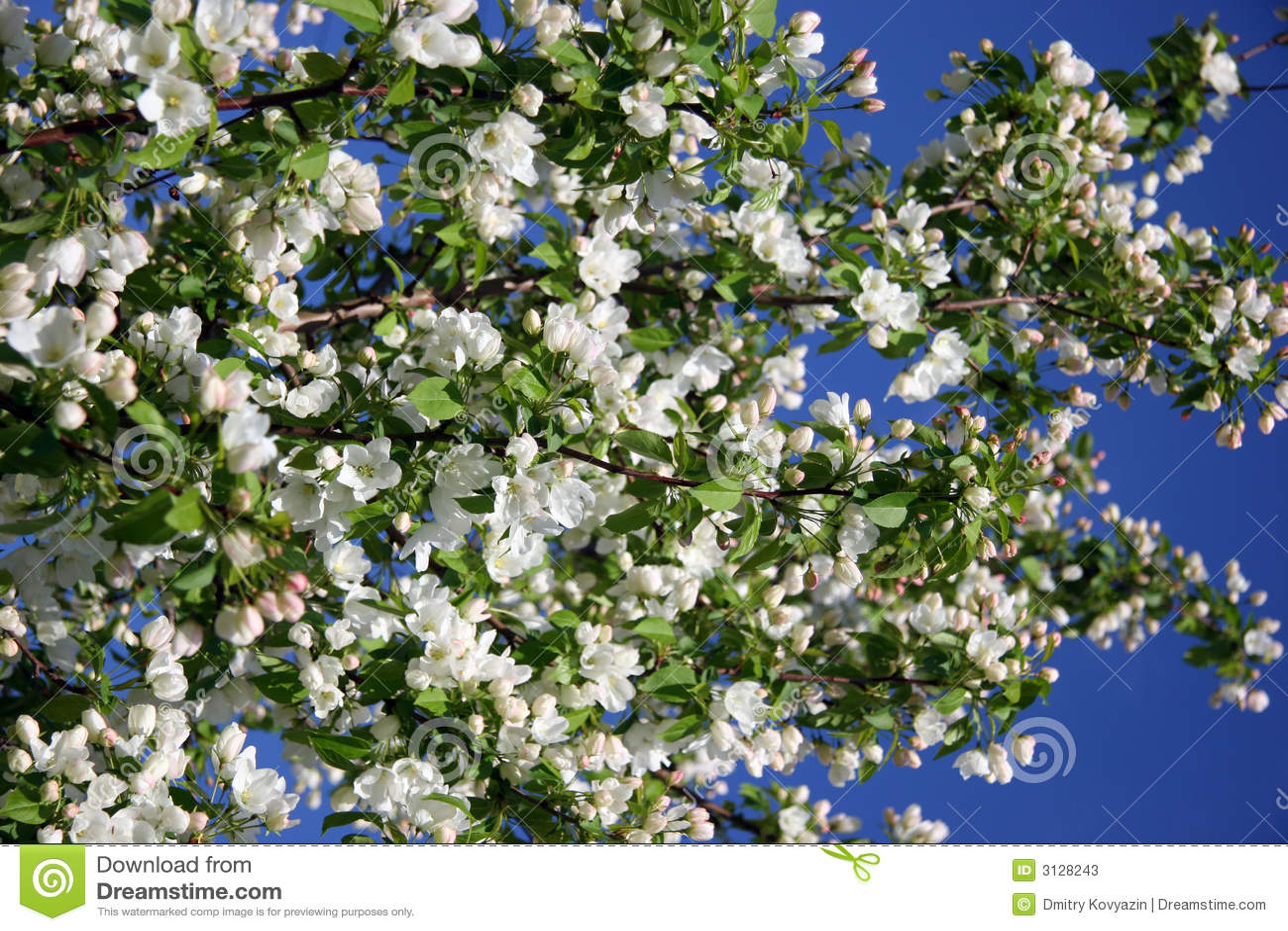 Apple-albero