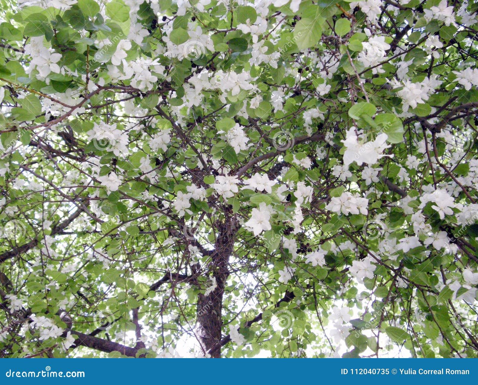 Apple-albero coperto di fiori e di foglie
