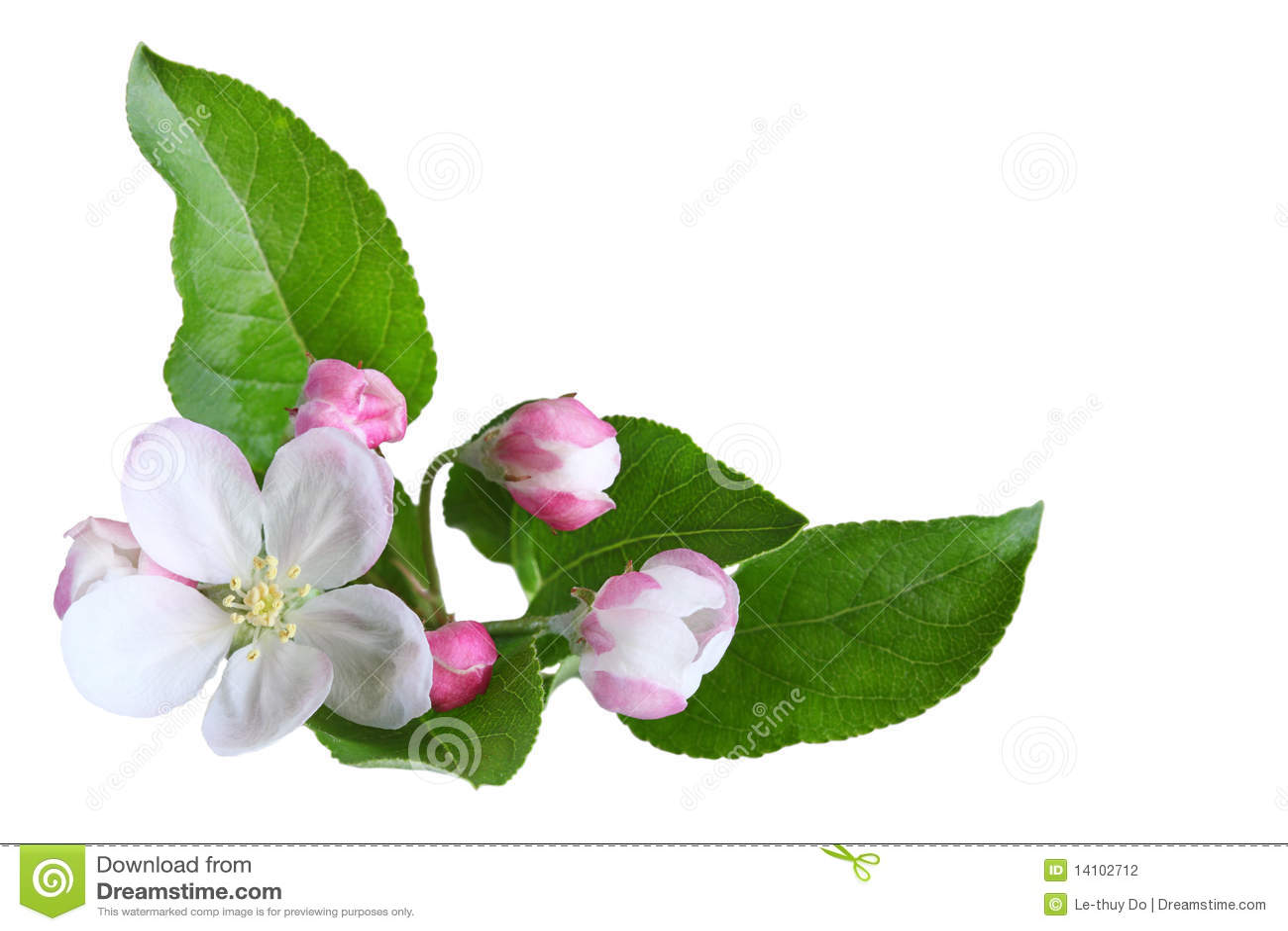 Apple-Blüte