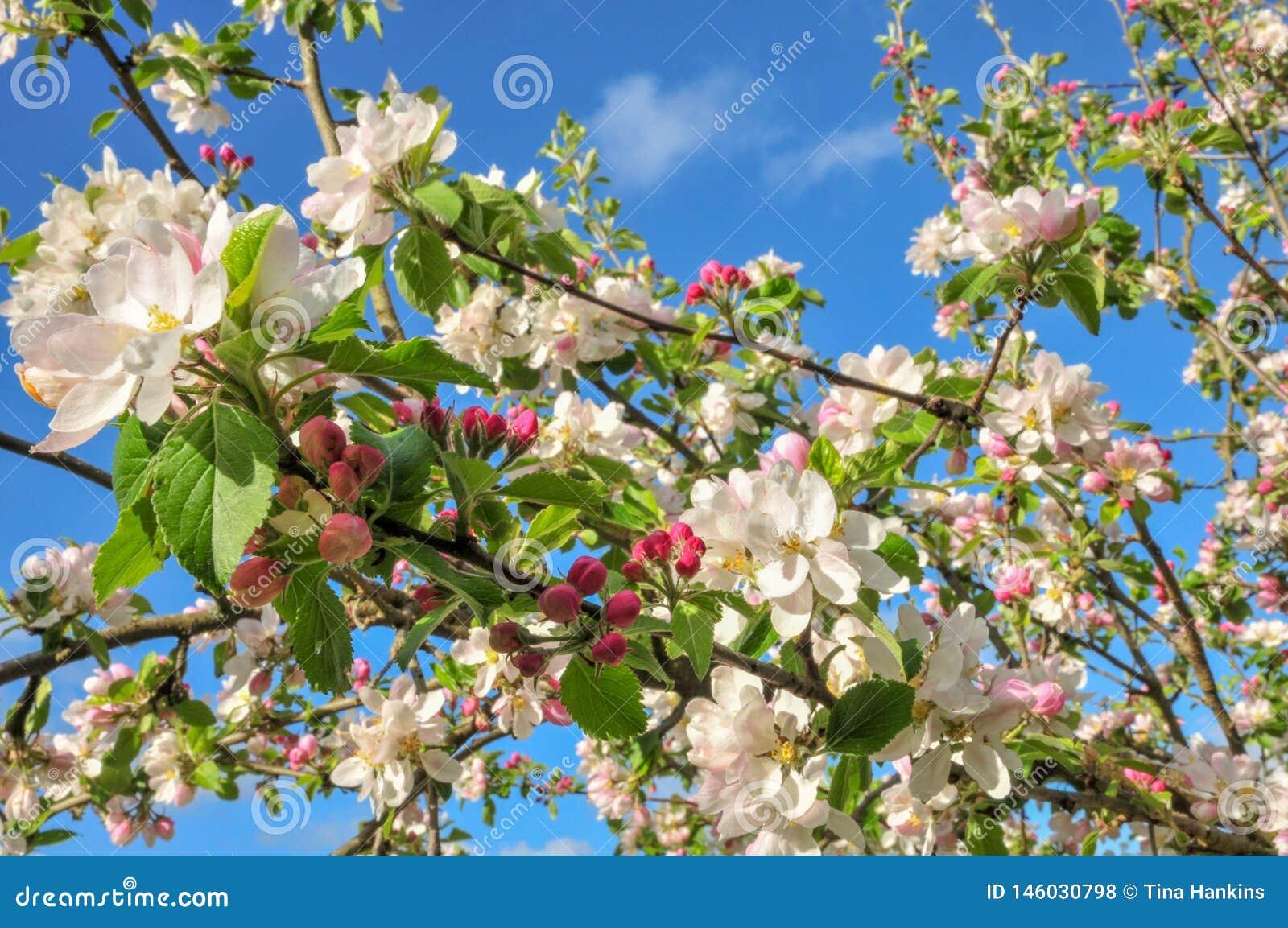 Apple-bloesem in de lente