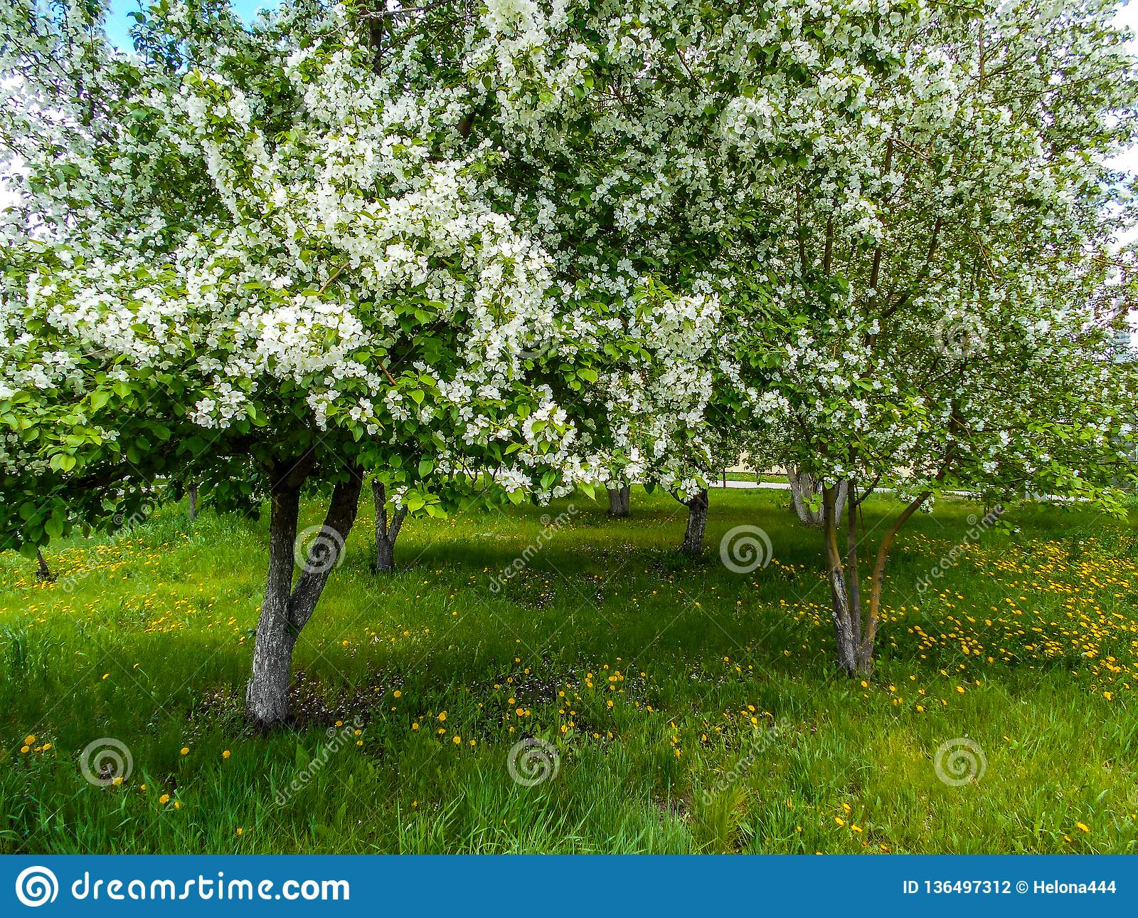 Apple-bloesems in de lente in de stadstuin
