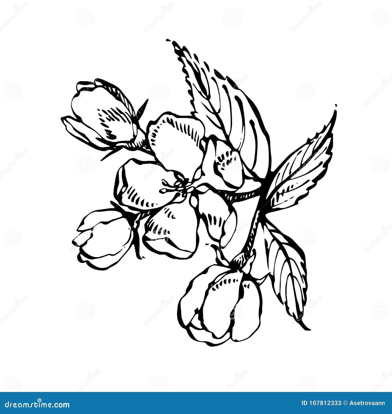 Apple-bloesemtak op wit wordt geïsoleerd dat Uitstekende botanische hand getrokken illustratie De lentebloemen van appelboom