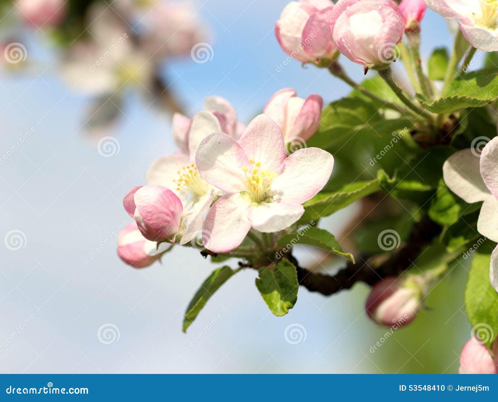 Apple blomma