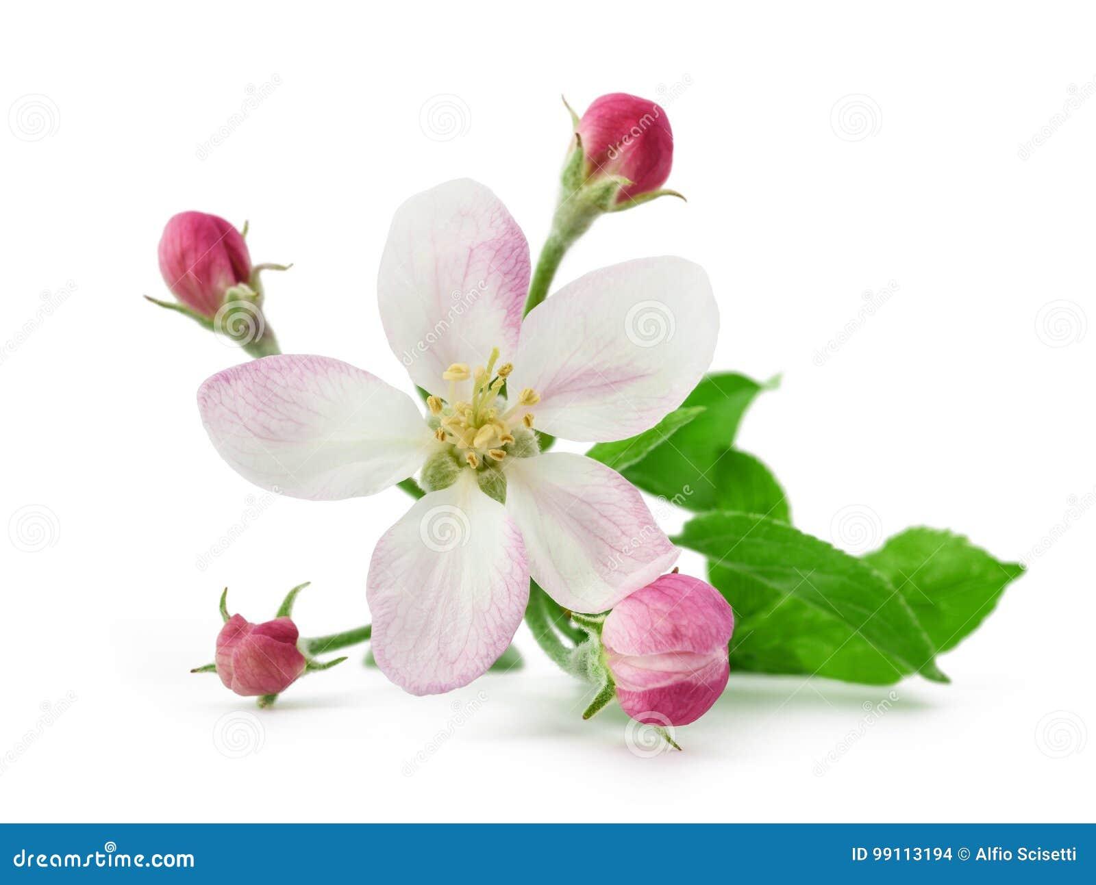 Apple blomma med knoppar