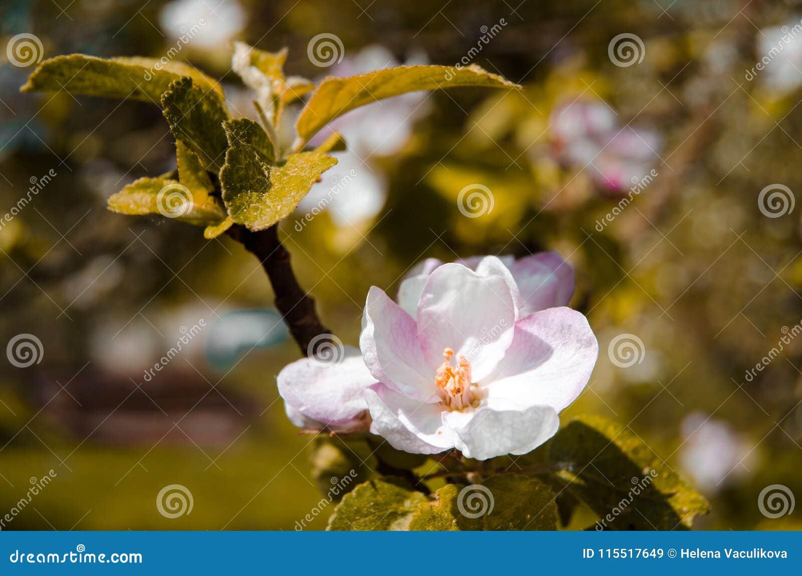 Apple blomningTree