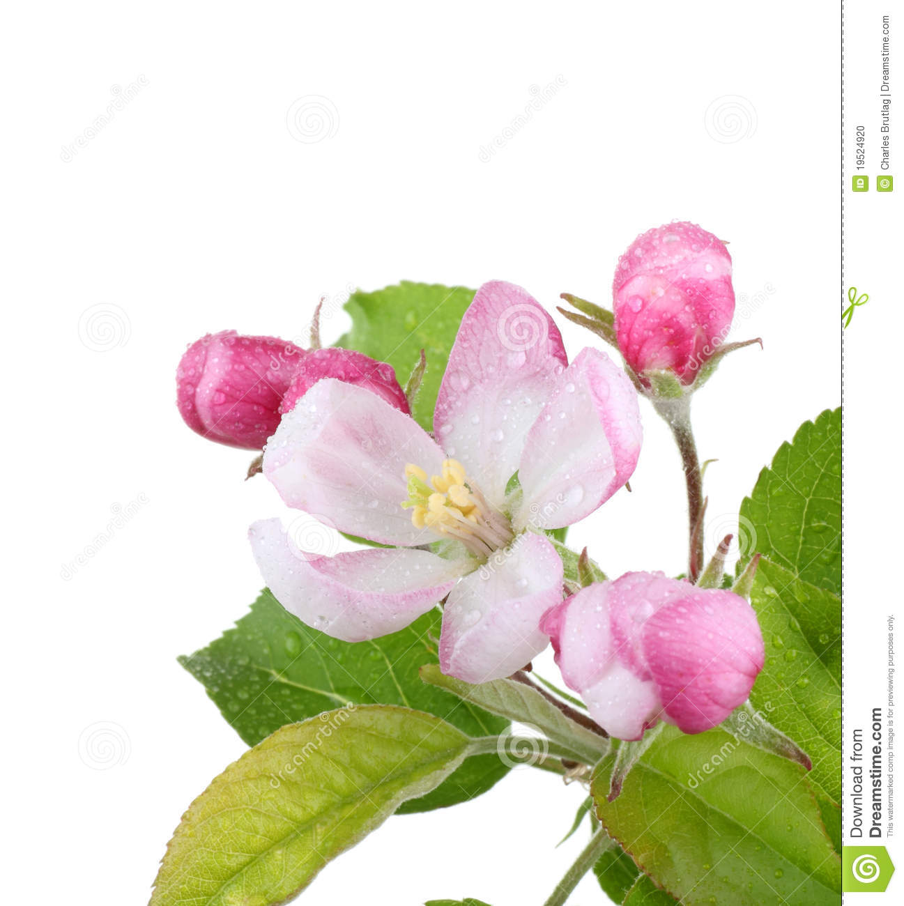 Apple Blossom Stock Photo Image 19524920