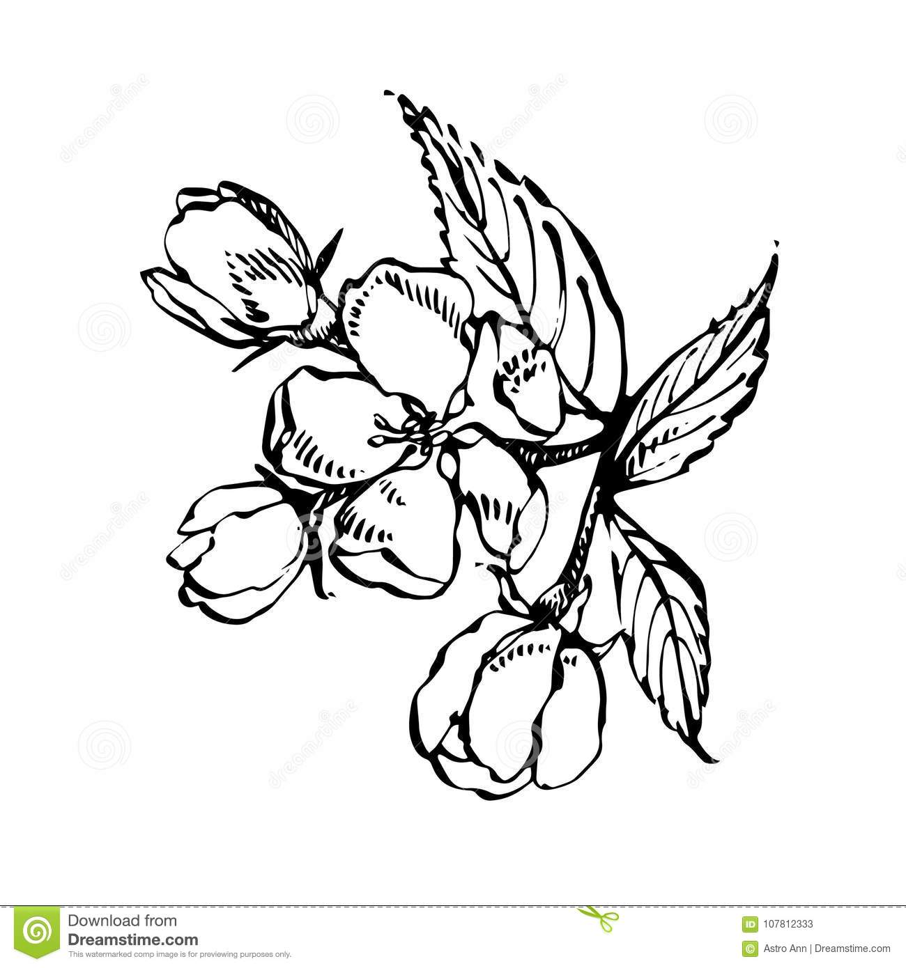 Apple Blossom Branch Isolated On White  Vintage Botanical Hand Drawn