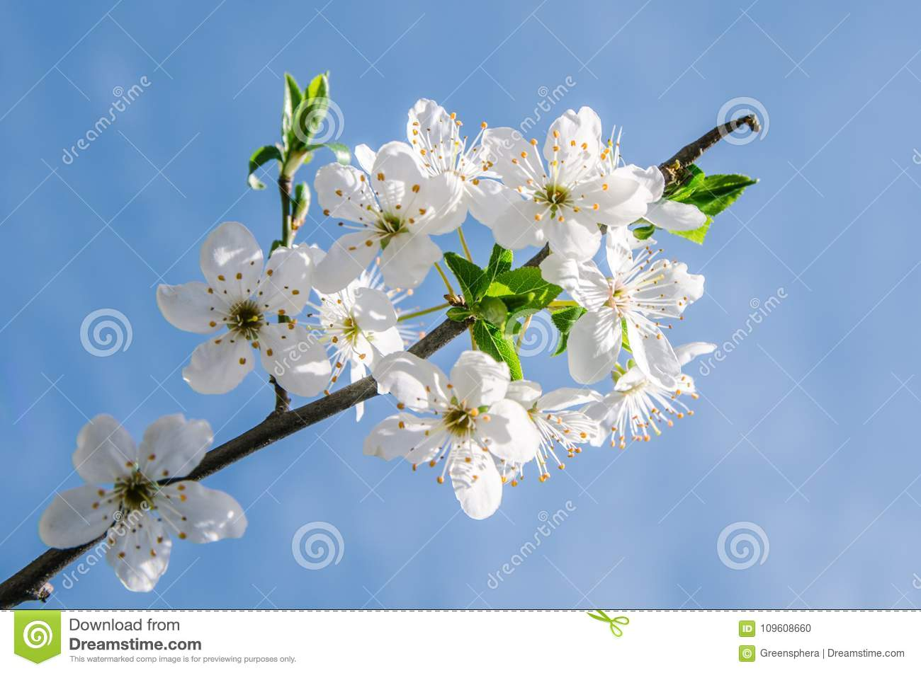 Apple Blossom Flowers In Spring Blooming On Young Tree Branch After