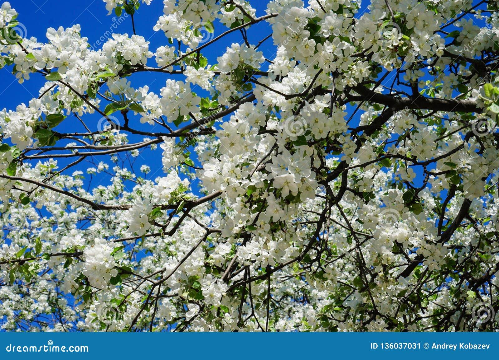 Apple blossom in garden