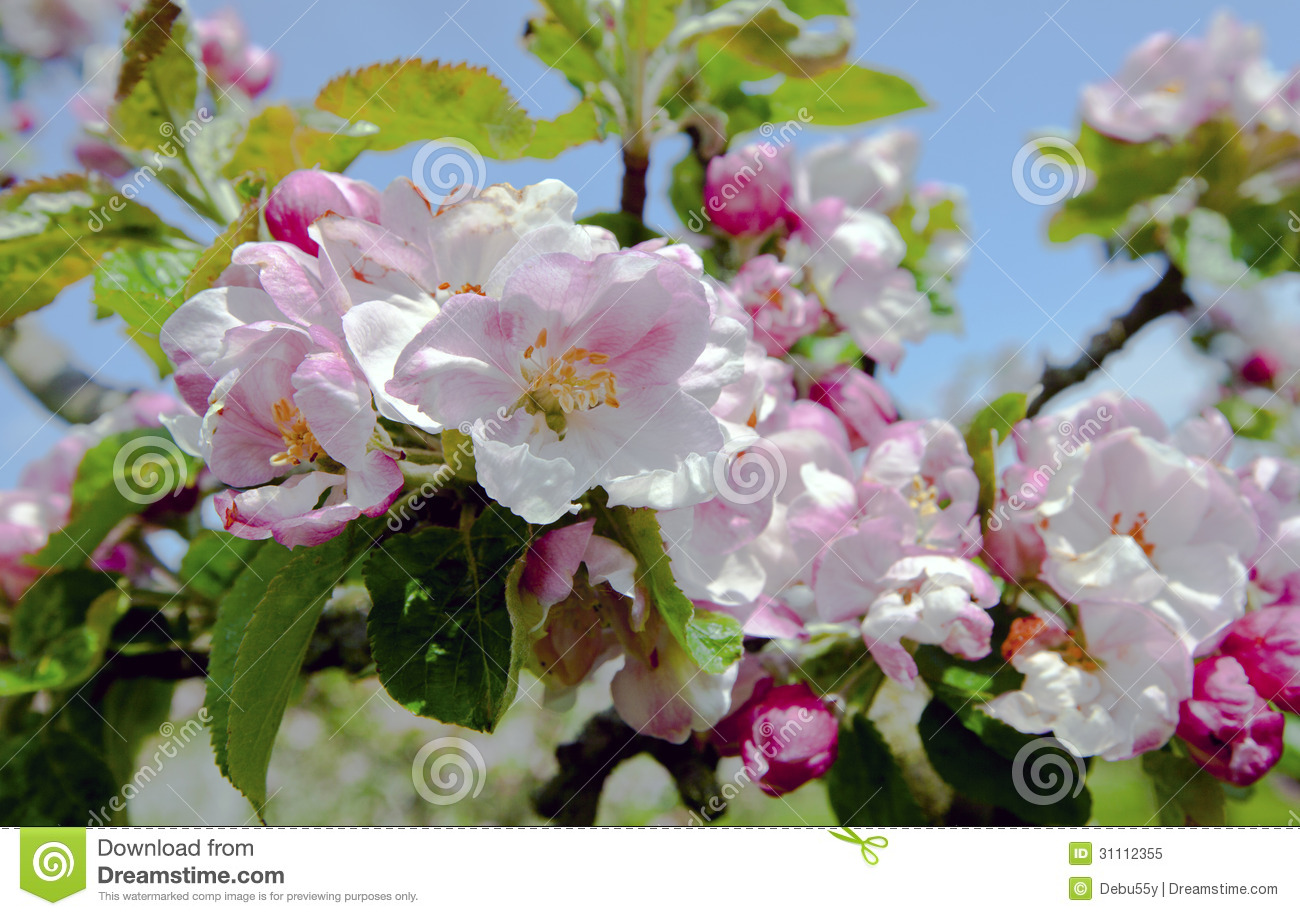 Apple Blossom. Royalty Free Stock Photo - Image: 31112355