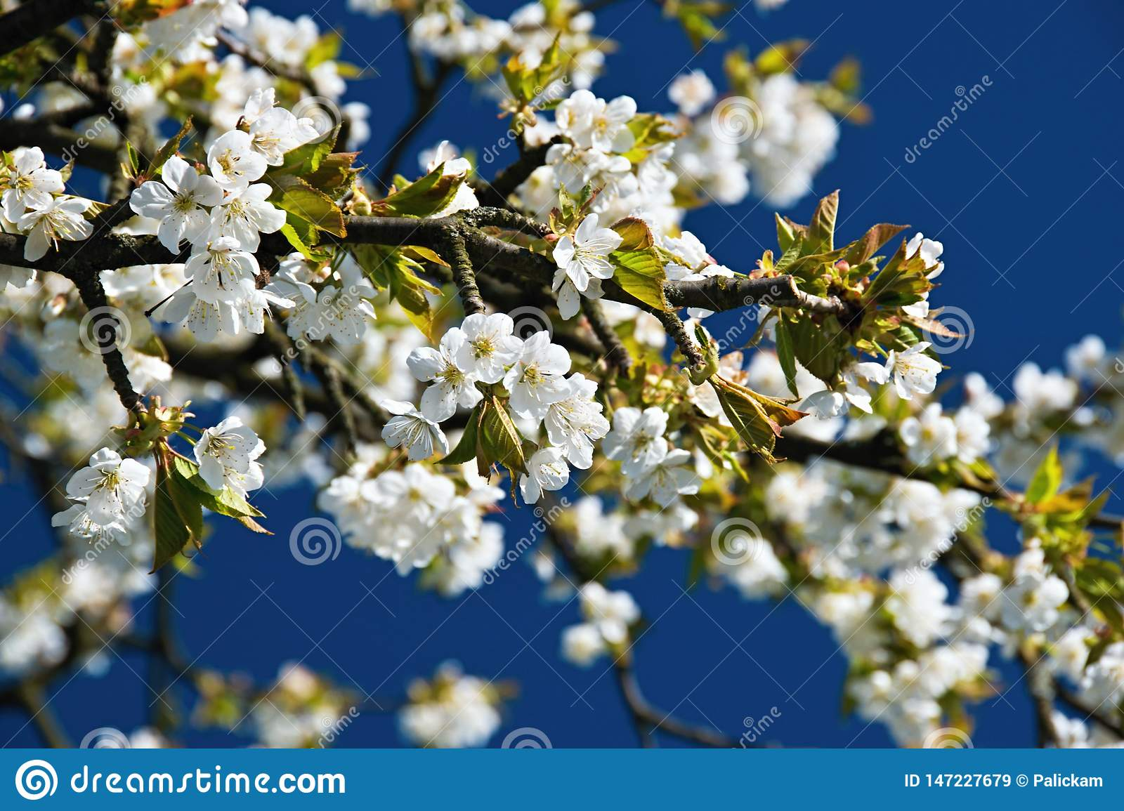 Apple blossom on spring, flowers on branch