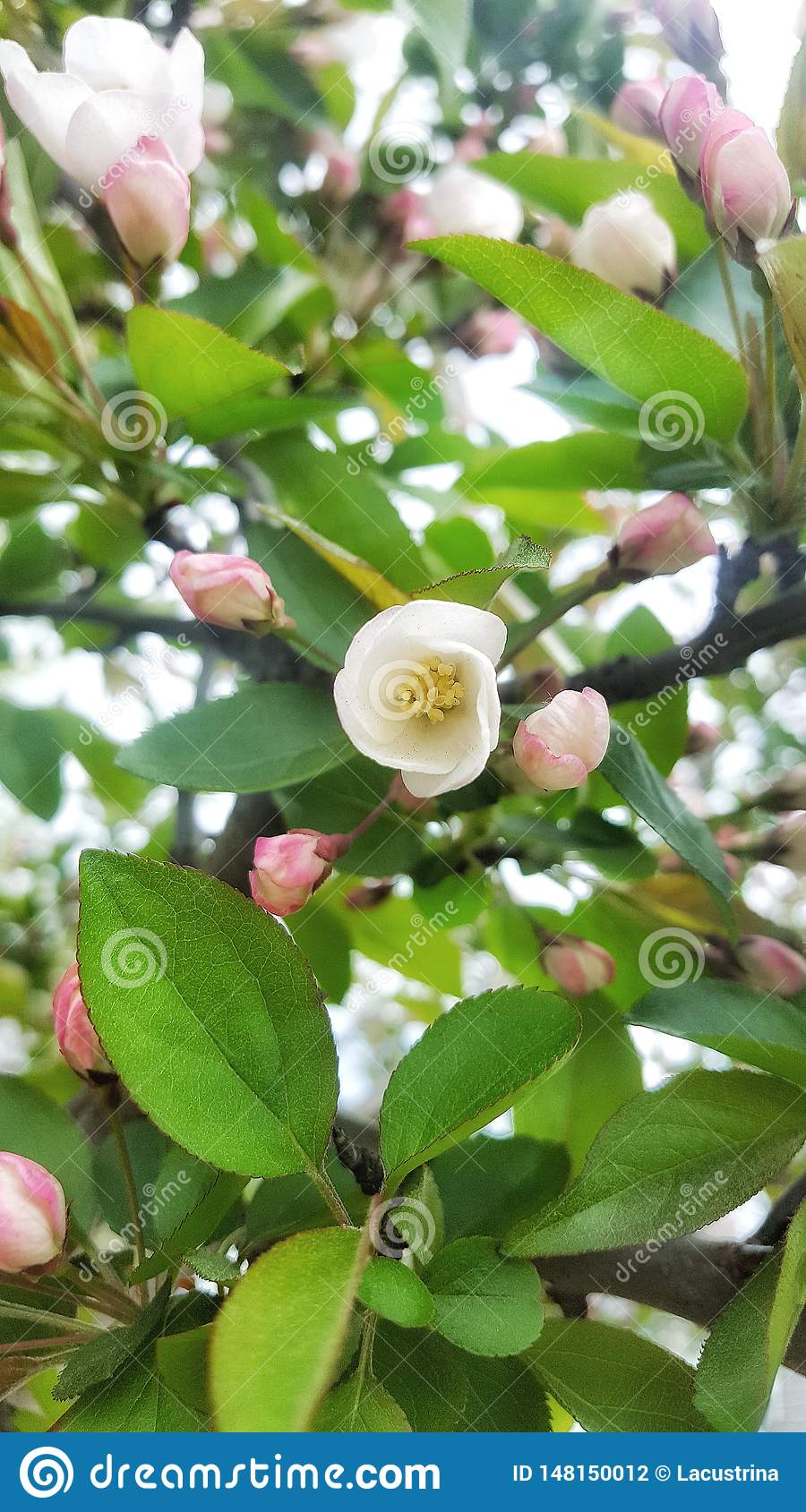 Apple blossom in spring time