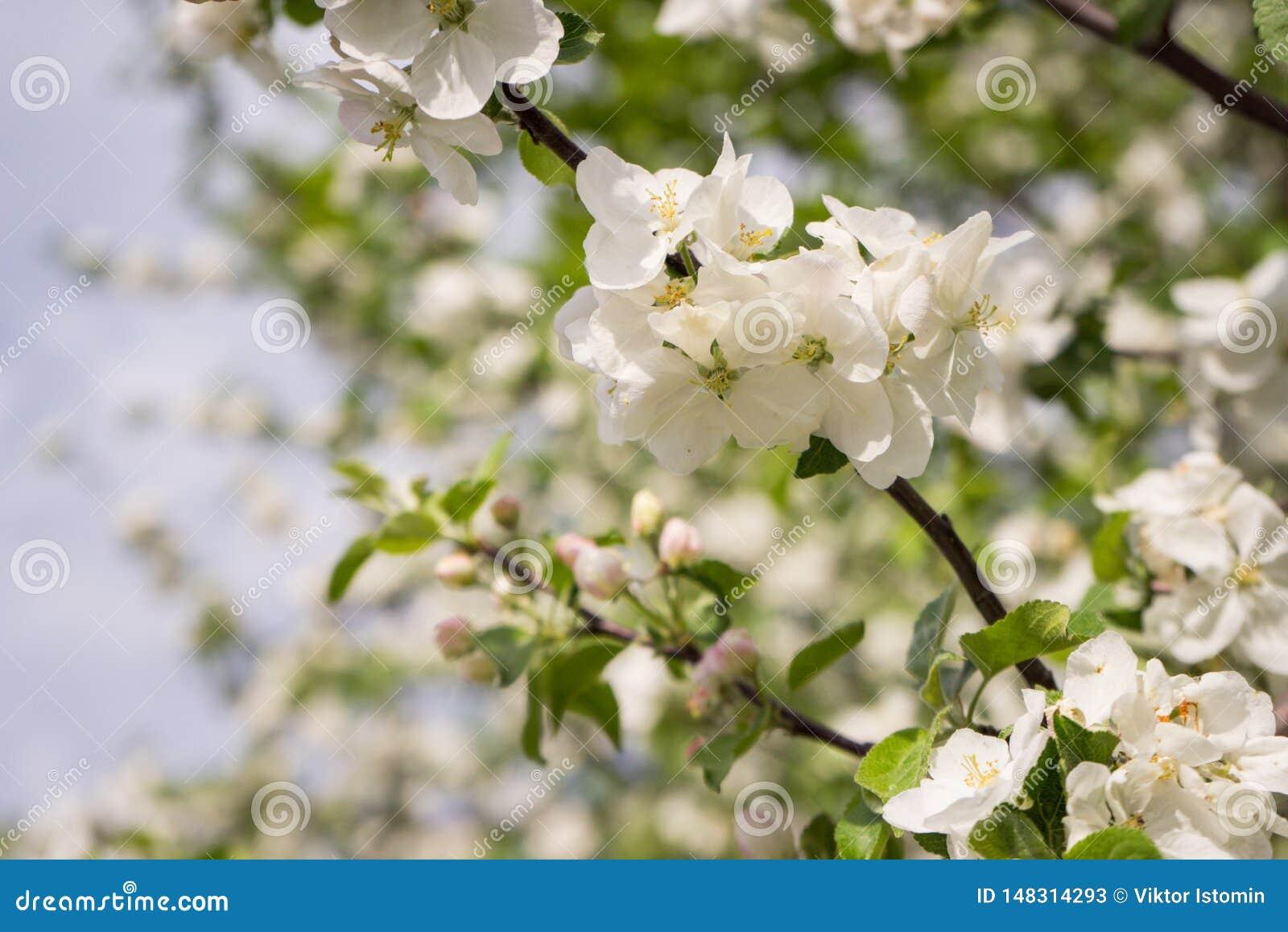 Apple-Blumen sind hallo vom Fr?hling!