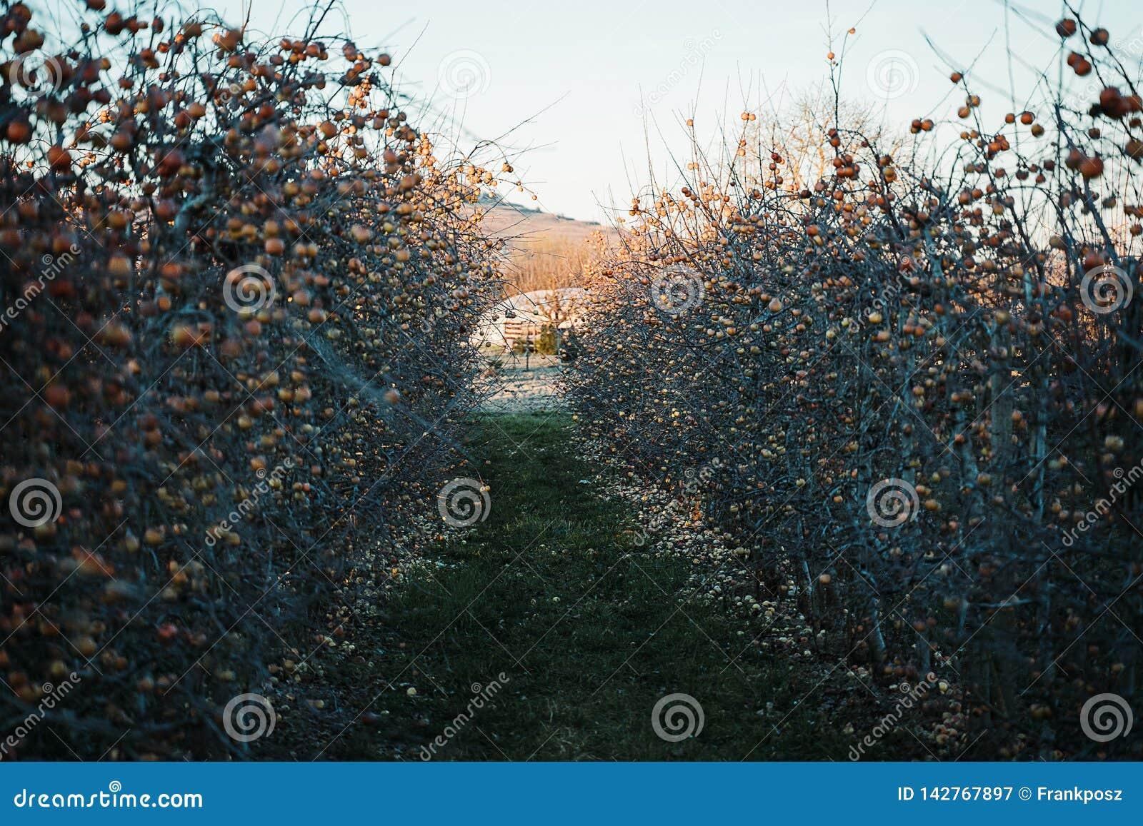 Apple-boomgaard in de lente