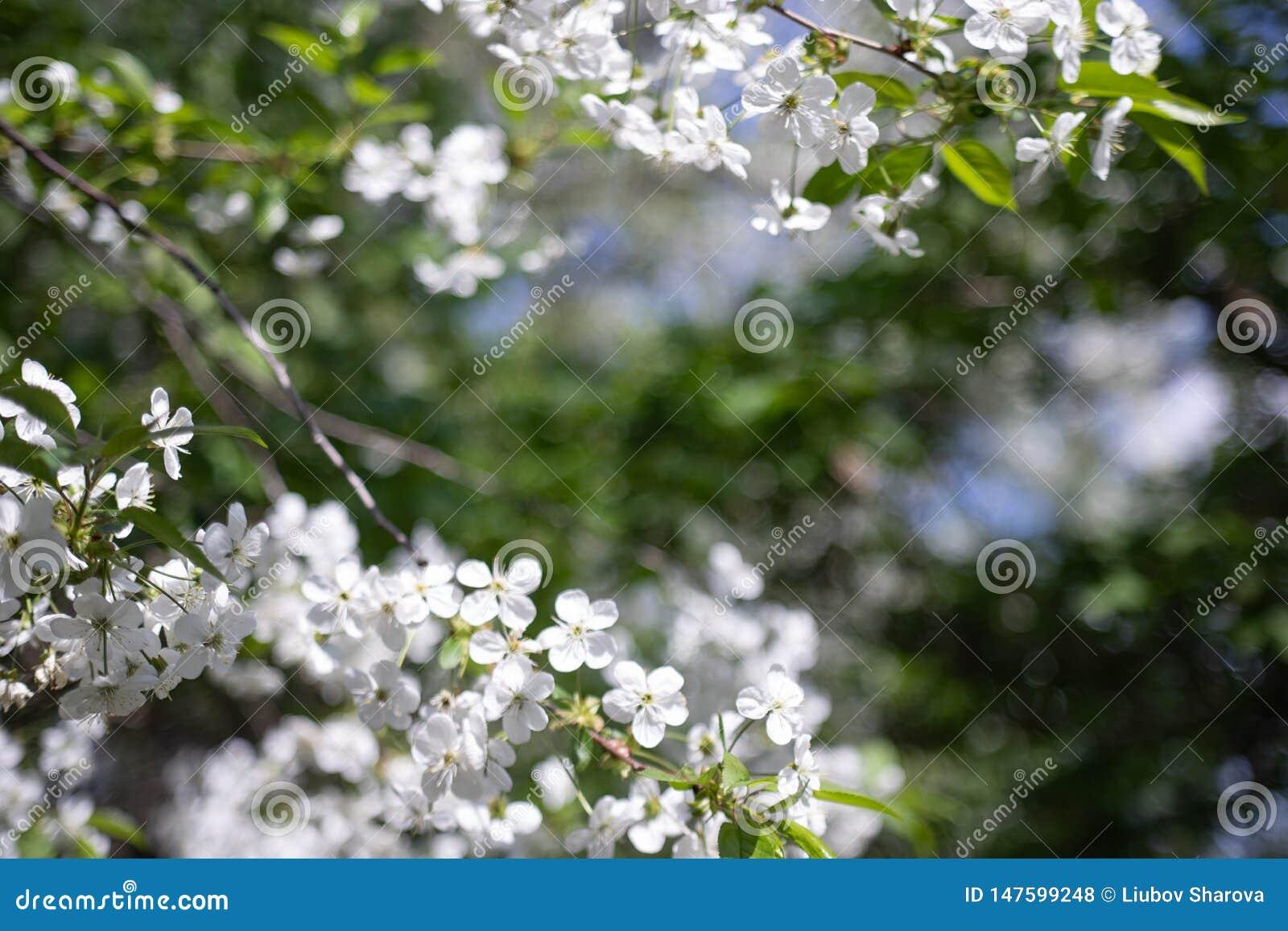 Apple-boomtak met mooie witte bloemen, geschoten close-up