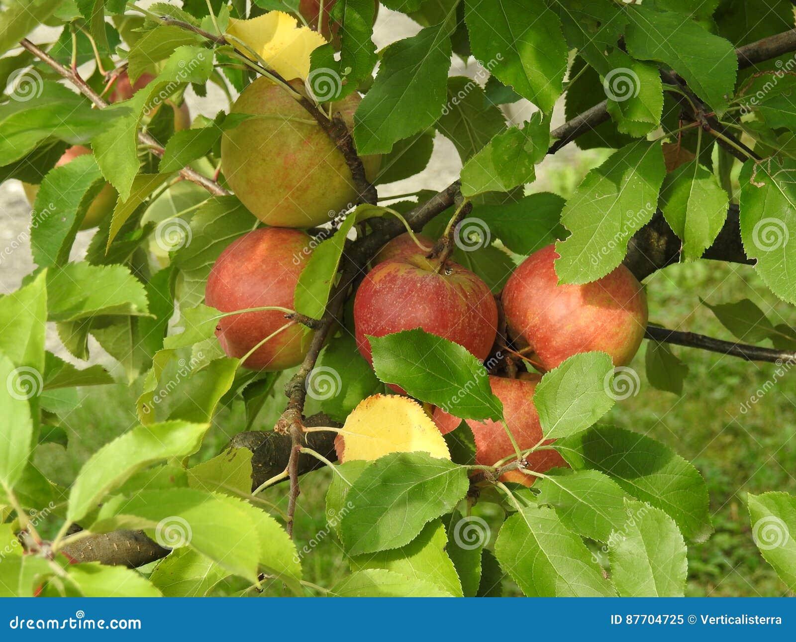Apple dans le pommier