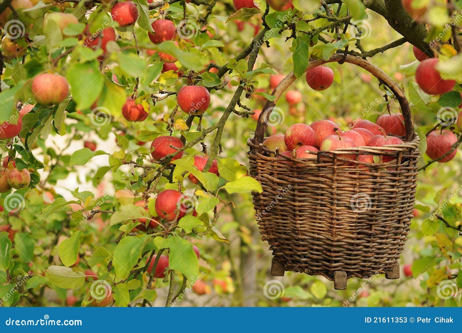 Apple-Ernte