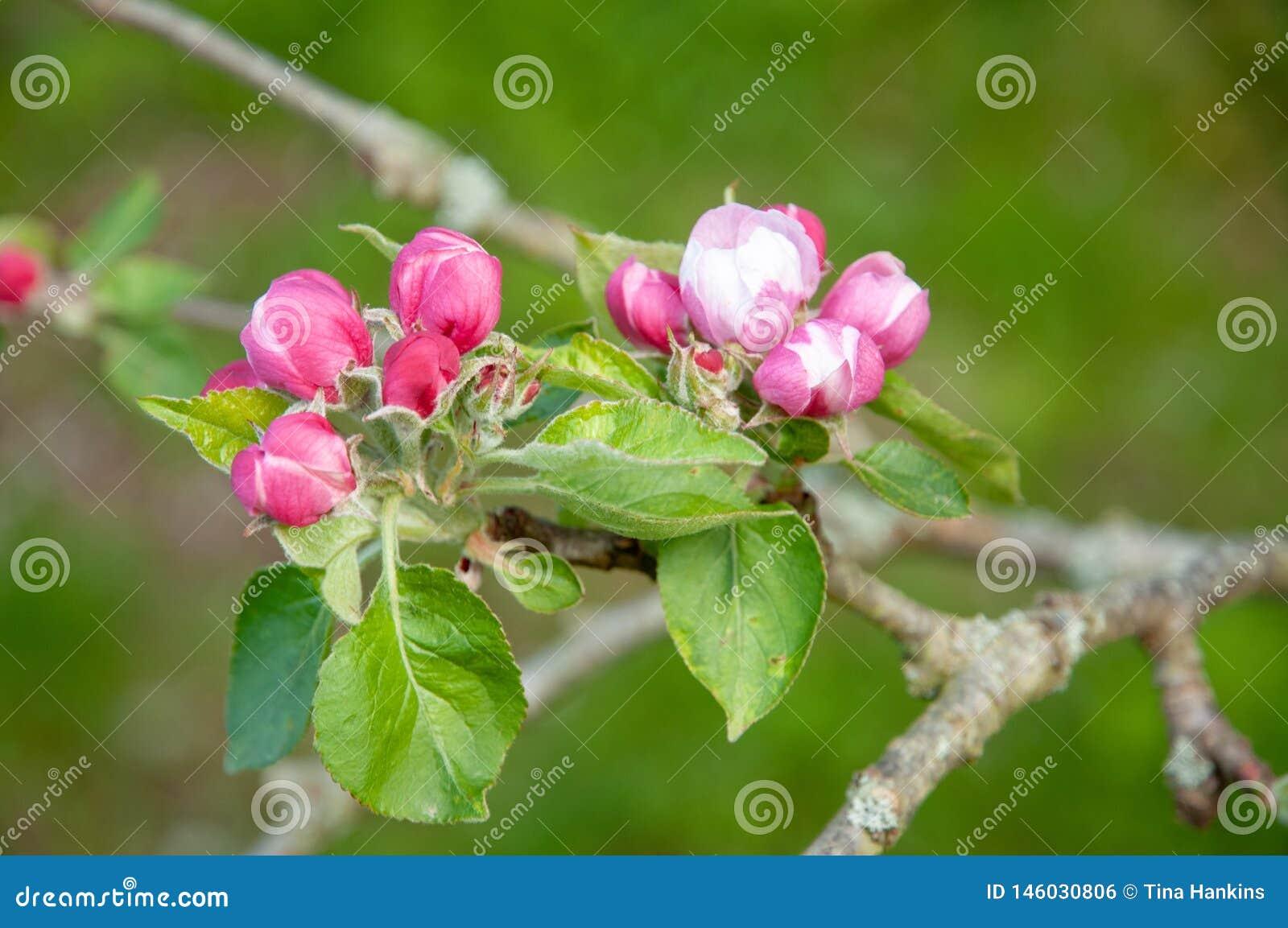 Apple florece en la primavera