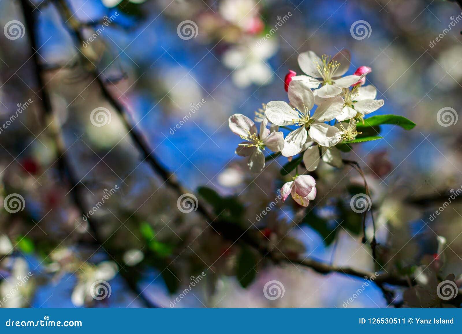 Apple floresce