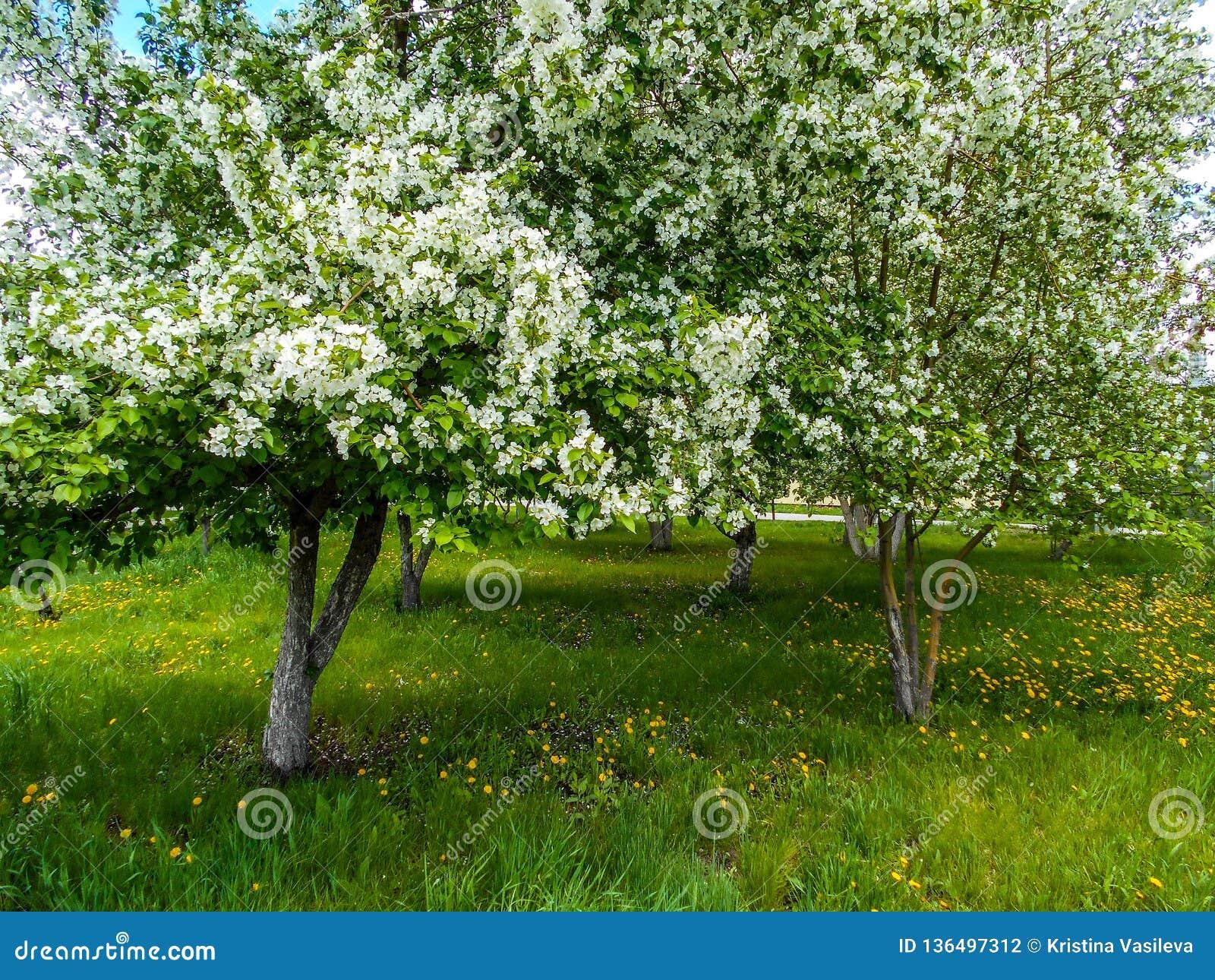 Apple floresce na mola no jardim da cidade