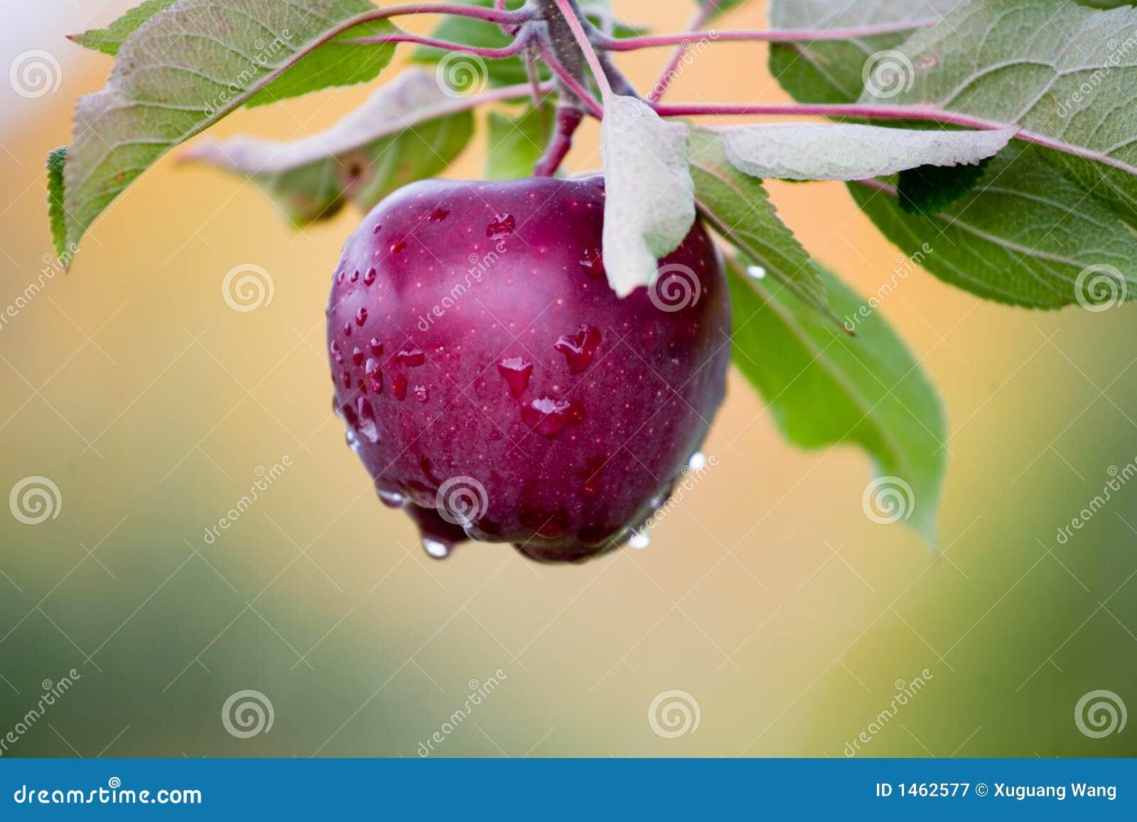 Apple fresco ainda em árvores