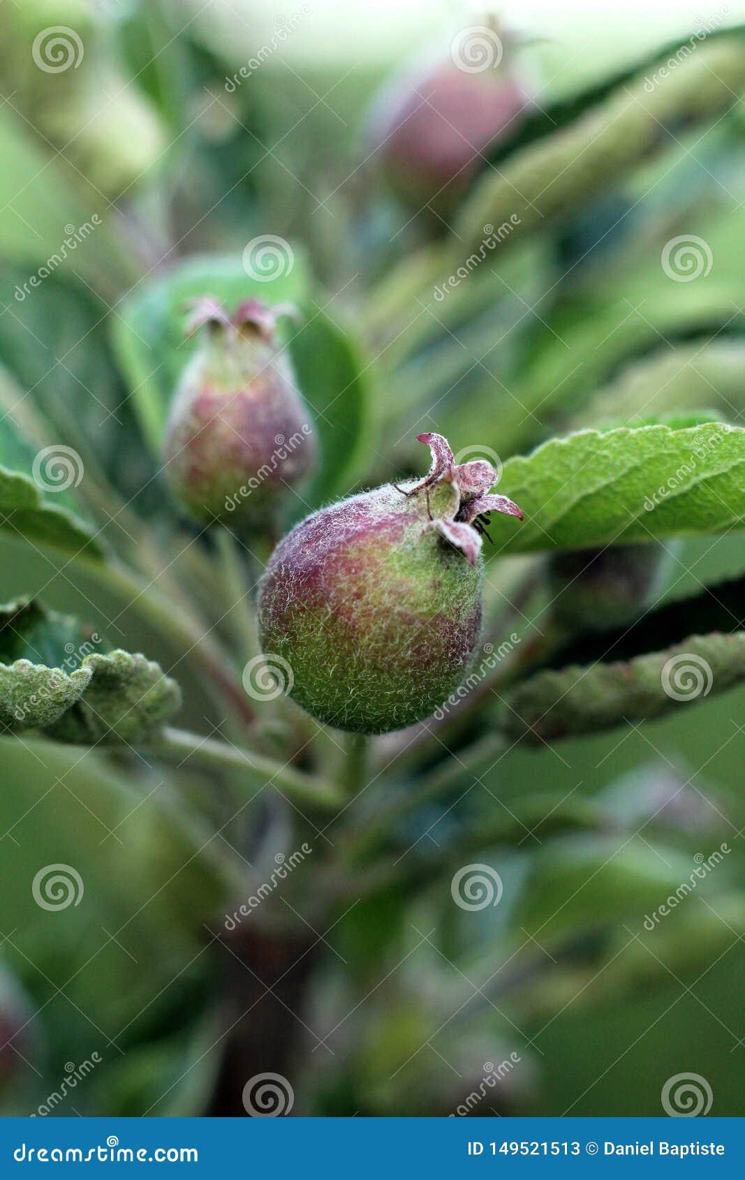 Apple frukt