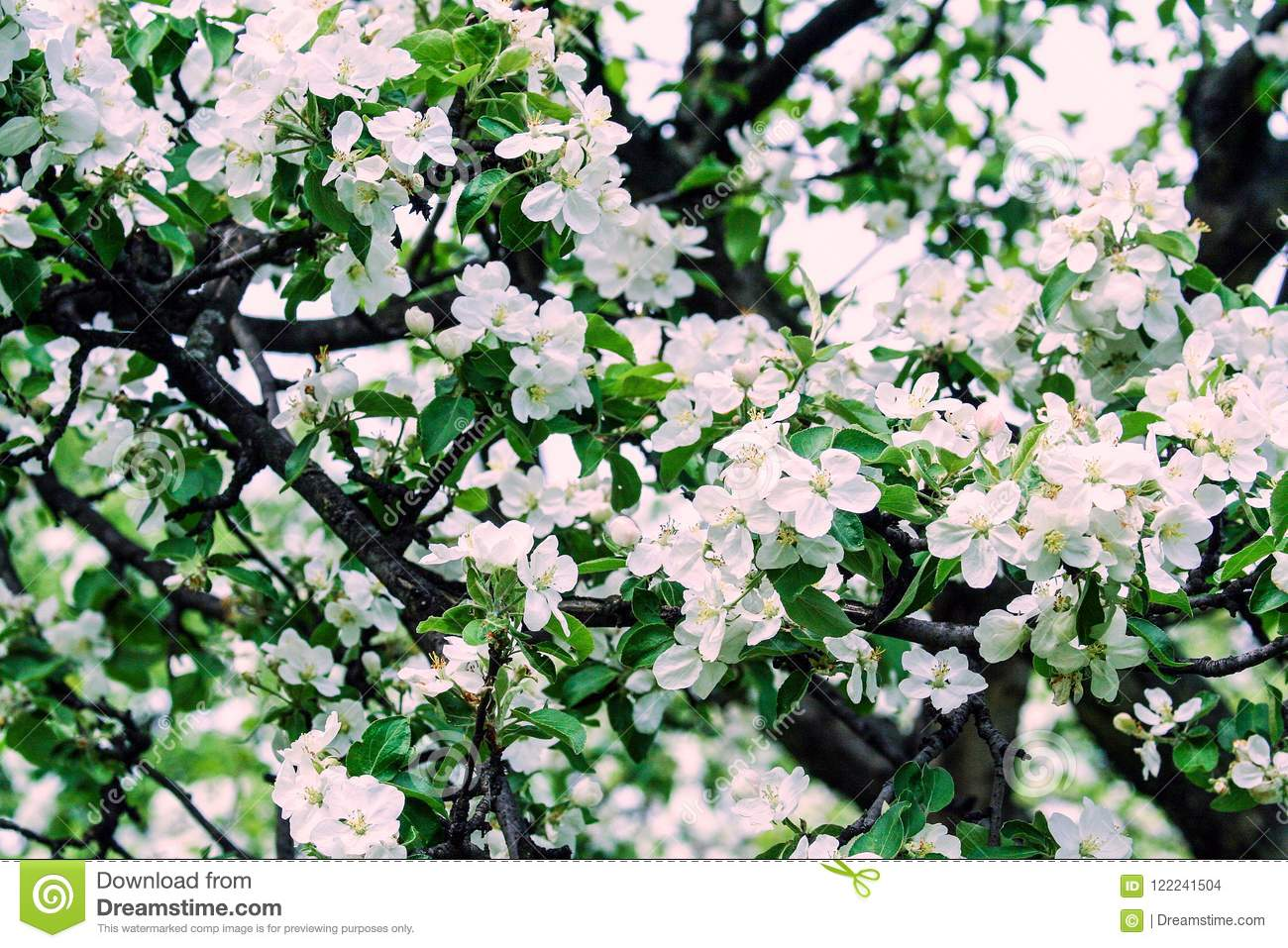 Apple Garden In Moscow Blooming White Flowers Stock Photo Image