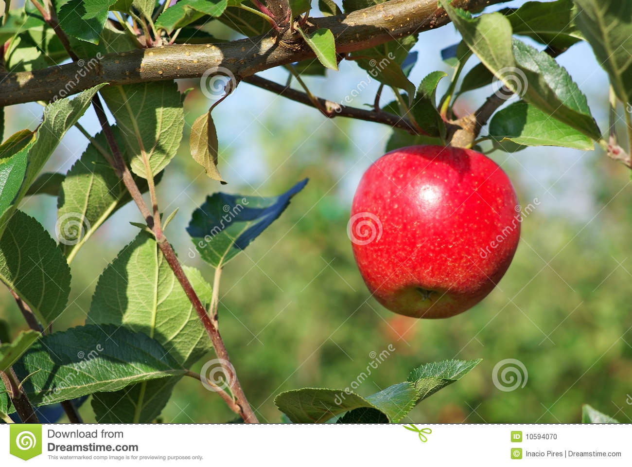 Apple Tree Orchard Clipart