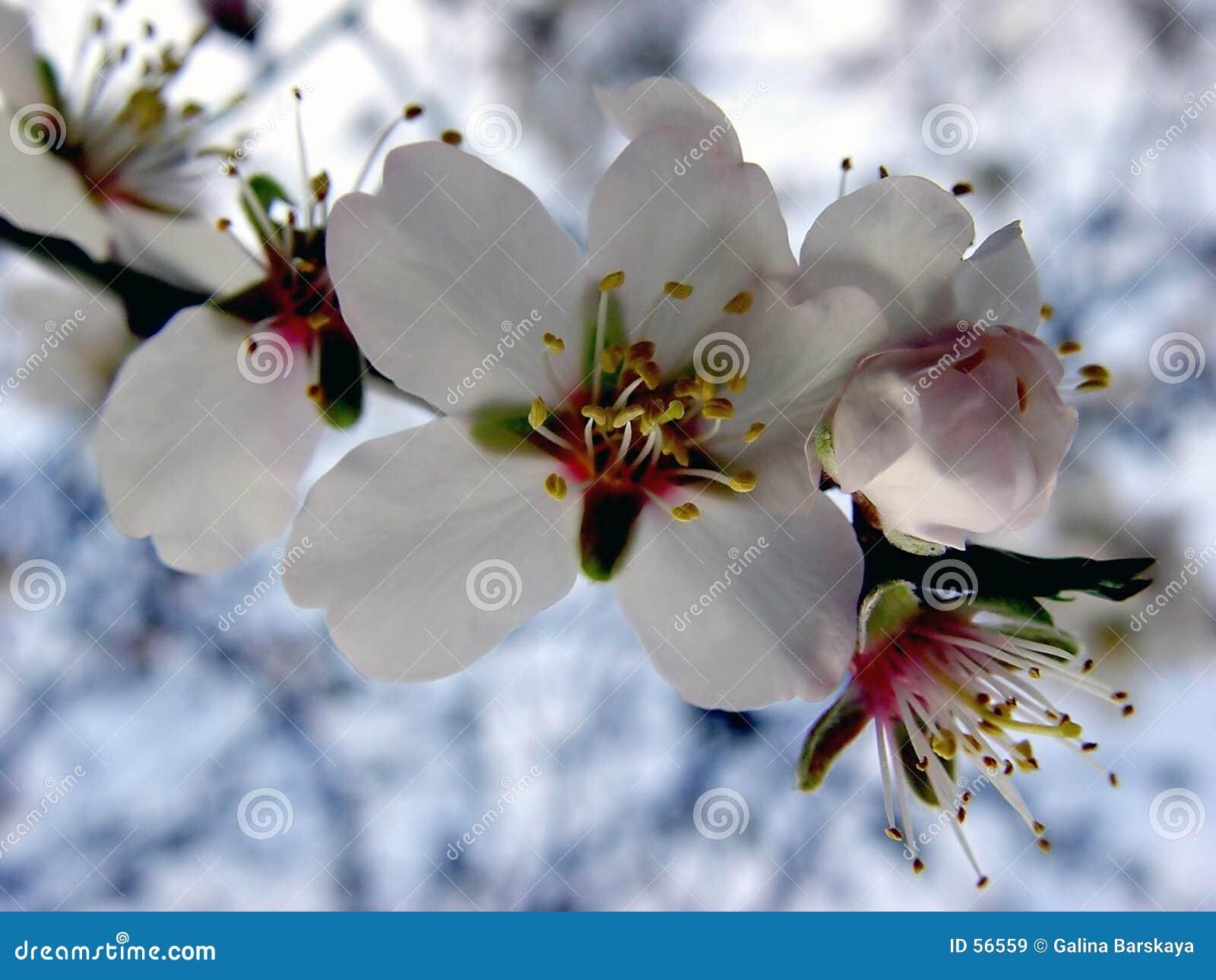 Apple kwiat