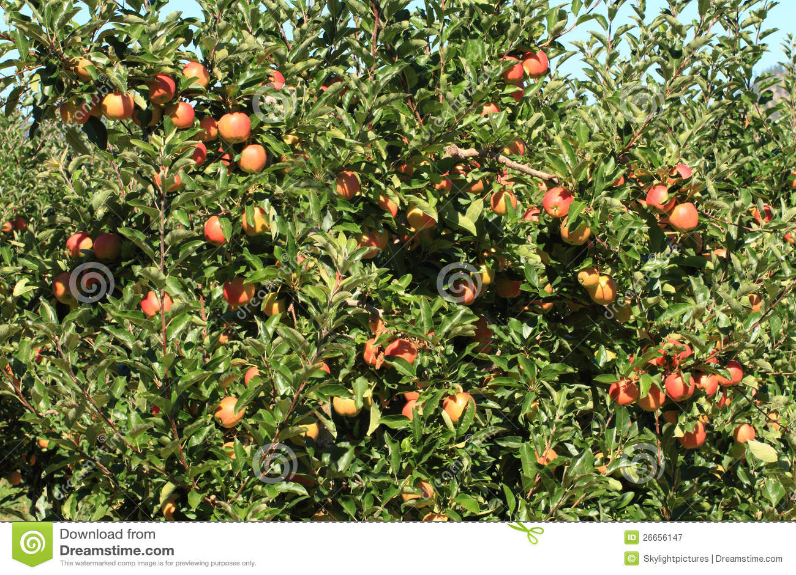 Apple Orchard 02