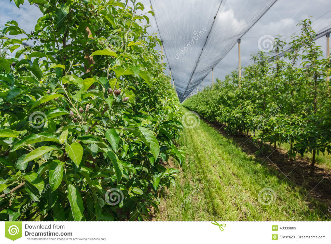 Apple Plantation With The Net Protection Stock Image Image
