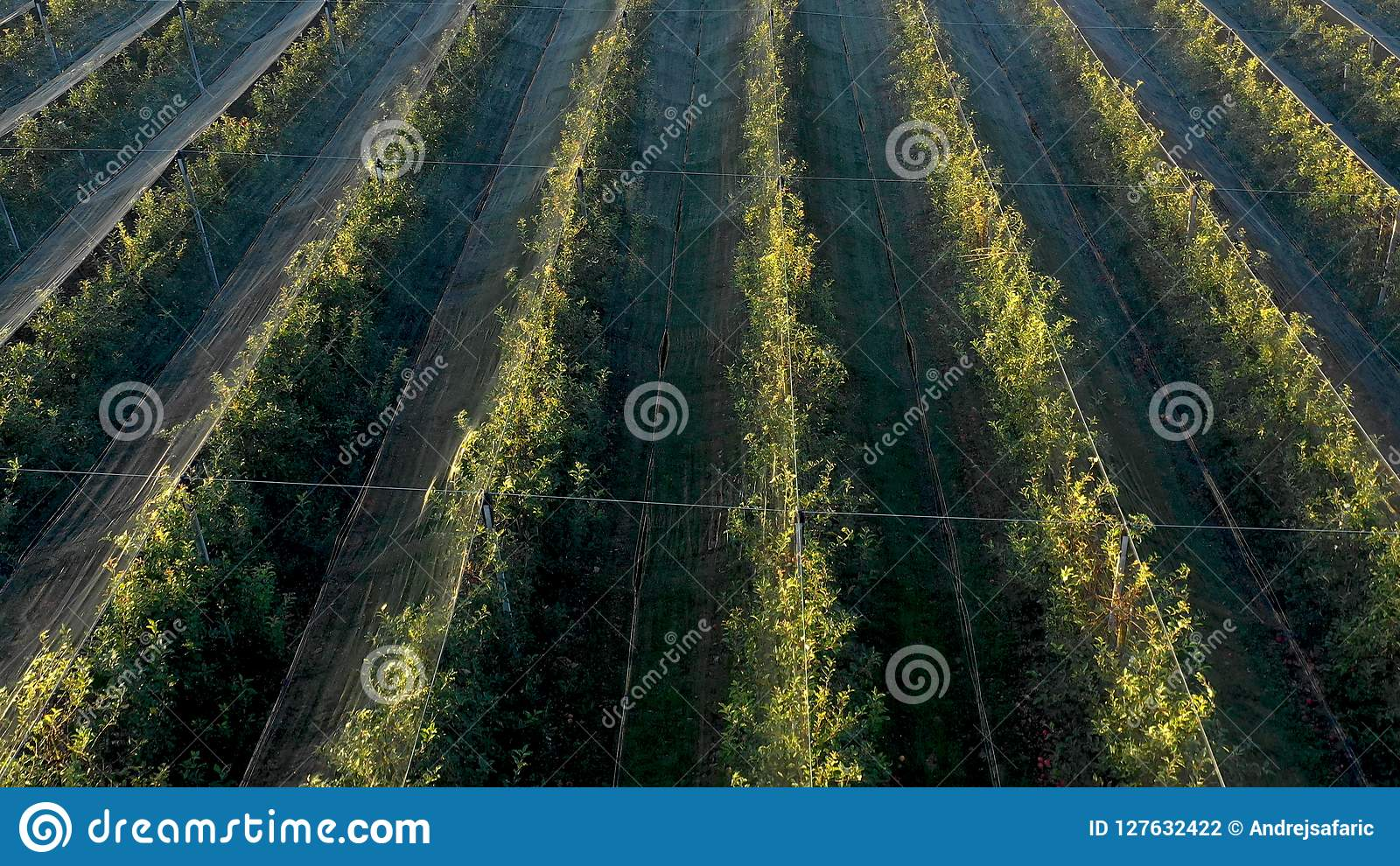 Apple Plantation, Orchard With Anti Hail Net For Protection Stock