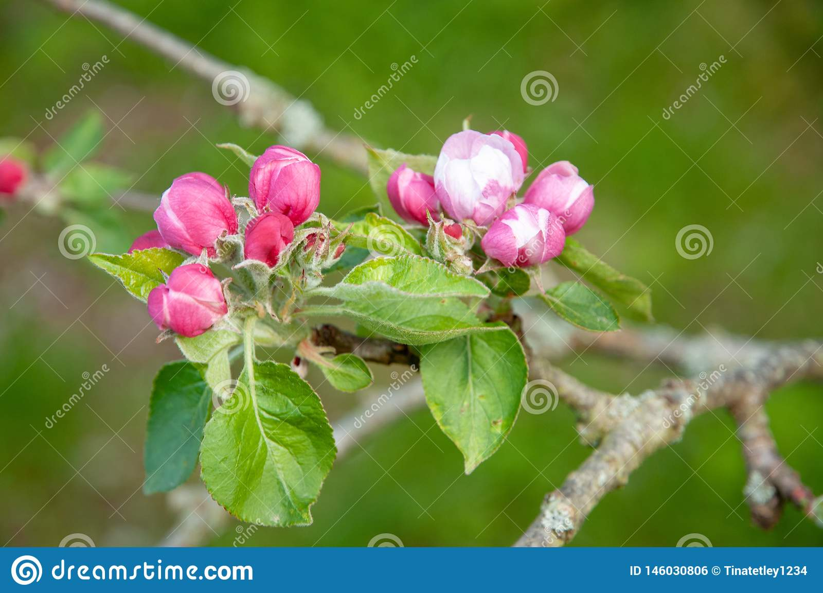 Apple sboccia in primavera