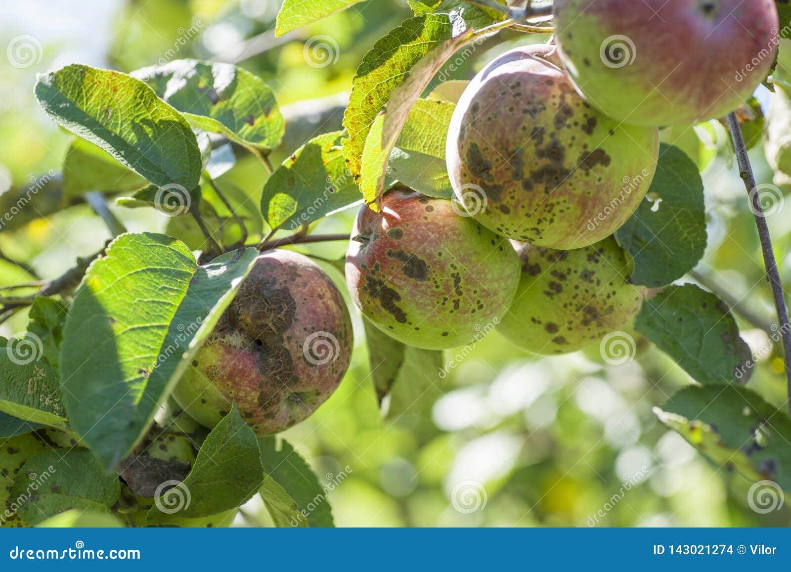 Apple scab disease stock photo  Image of fruit, autumn