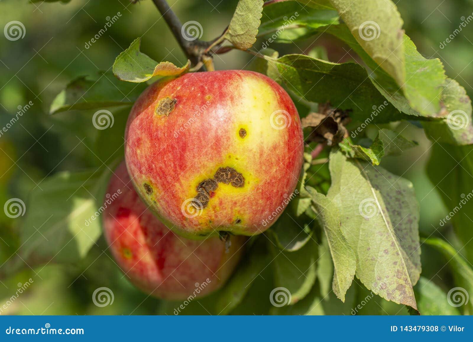 Apple scab disease stock photo  Image of tree, disease