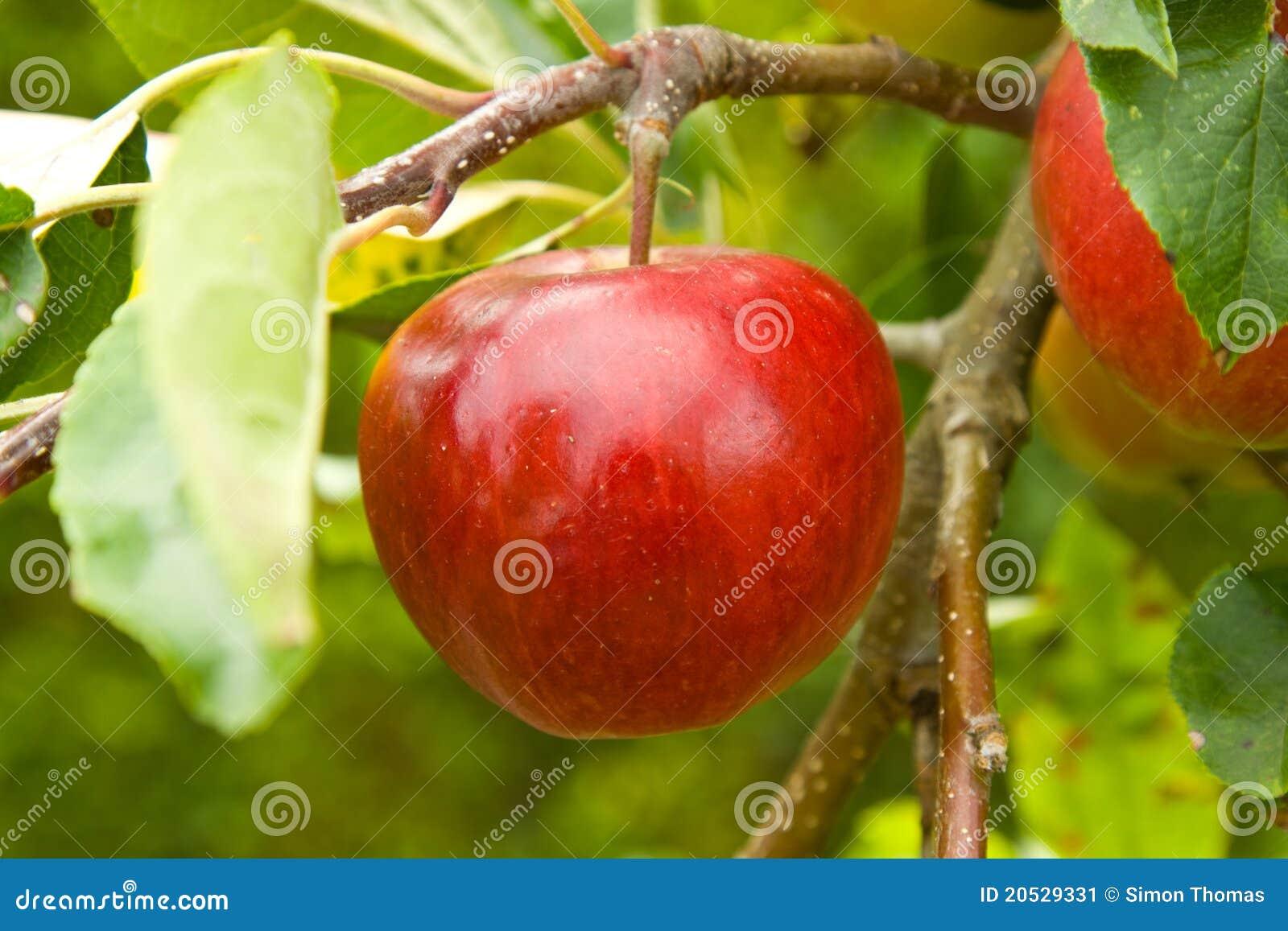Apple sur l arbre