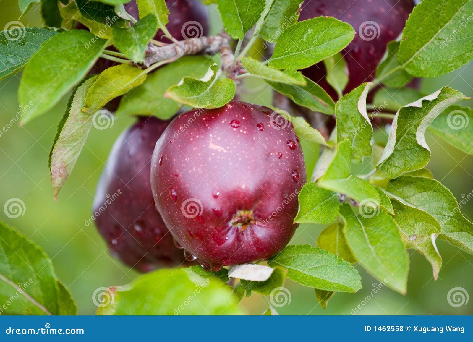 Apple toujours frais sur des arbres