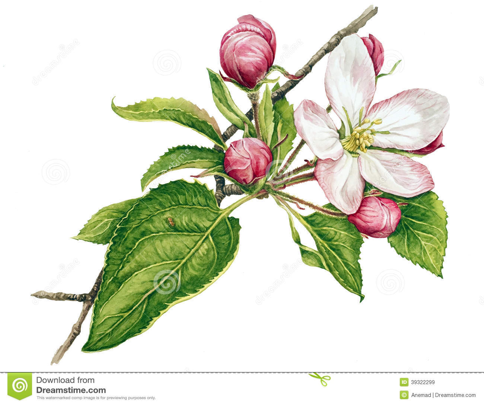 Apple träd i blomning