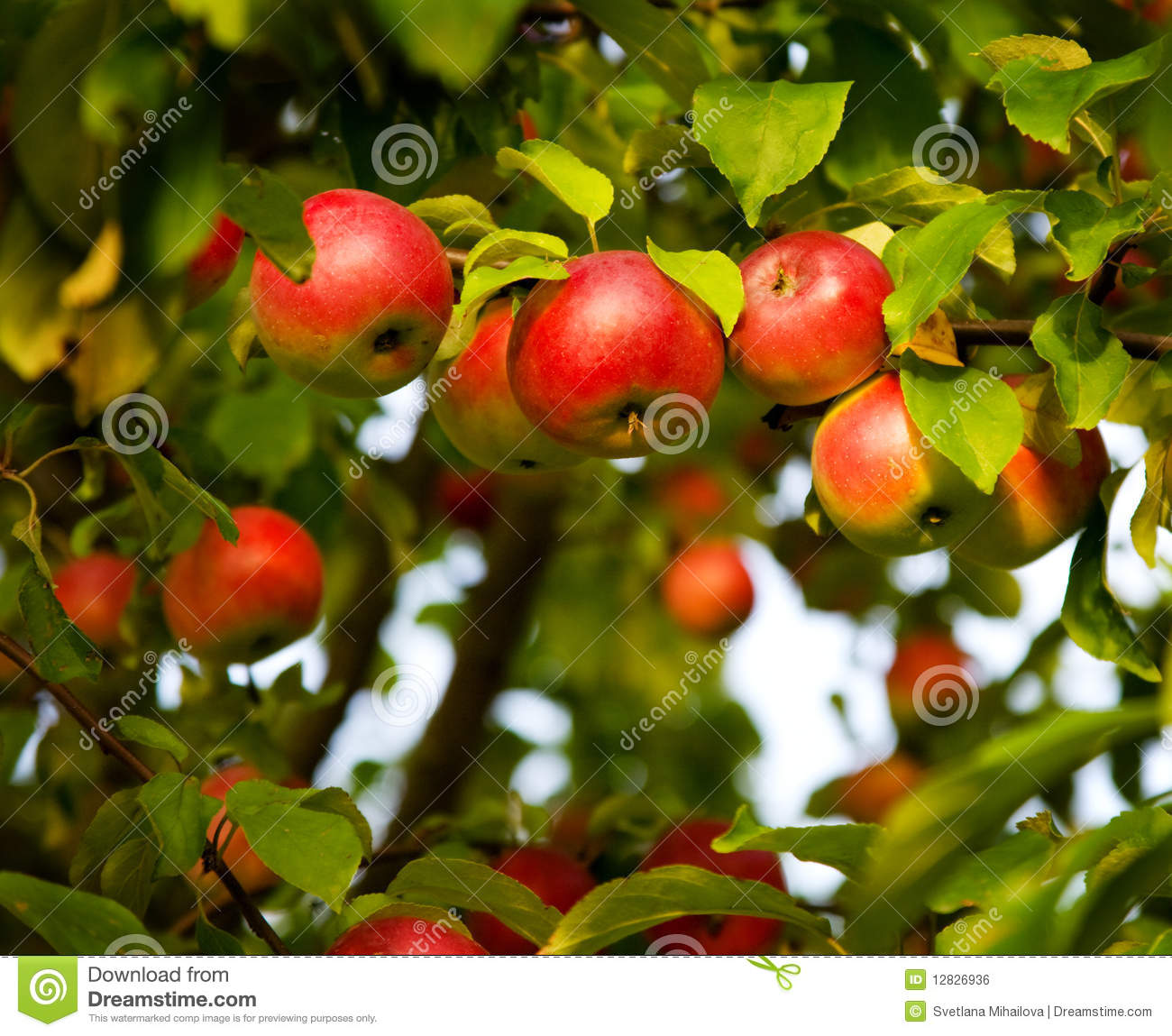 Apple Tree Stock Photo Image Of Tree Apple Green Tasty 12826936