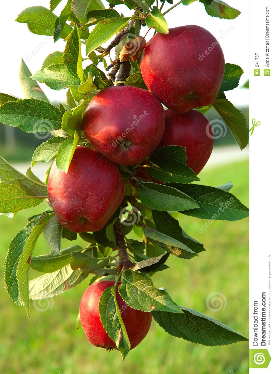Apple Tree Royalty Free Stock Photography - Image: 241767