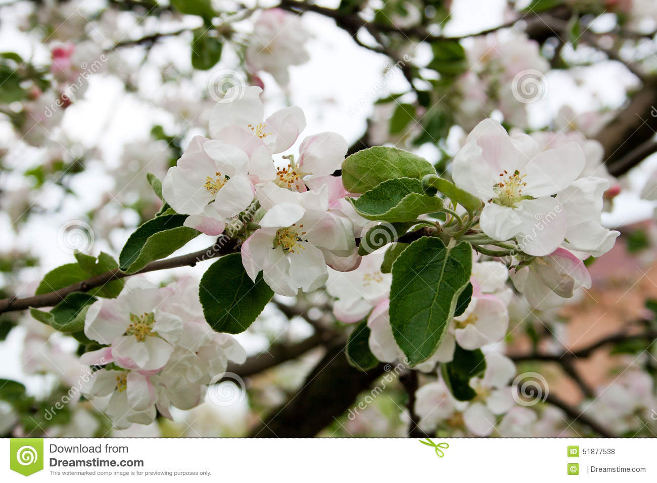 Apple Tree In Bloom In Spring Stock Photo Image Of Beauty Pistil