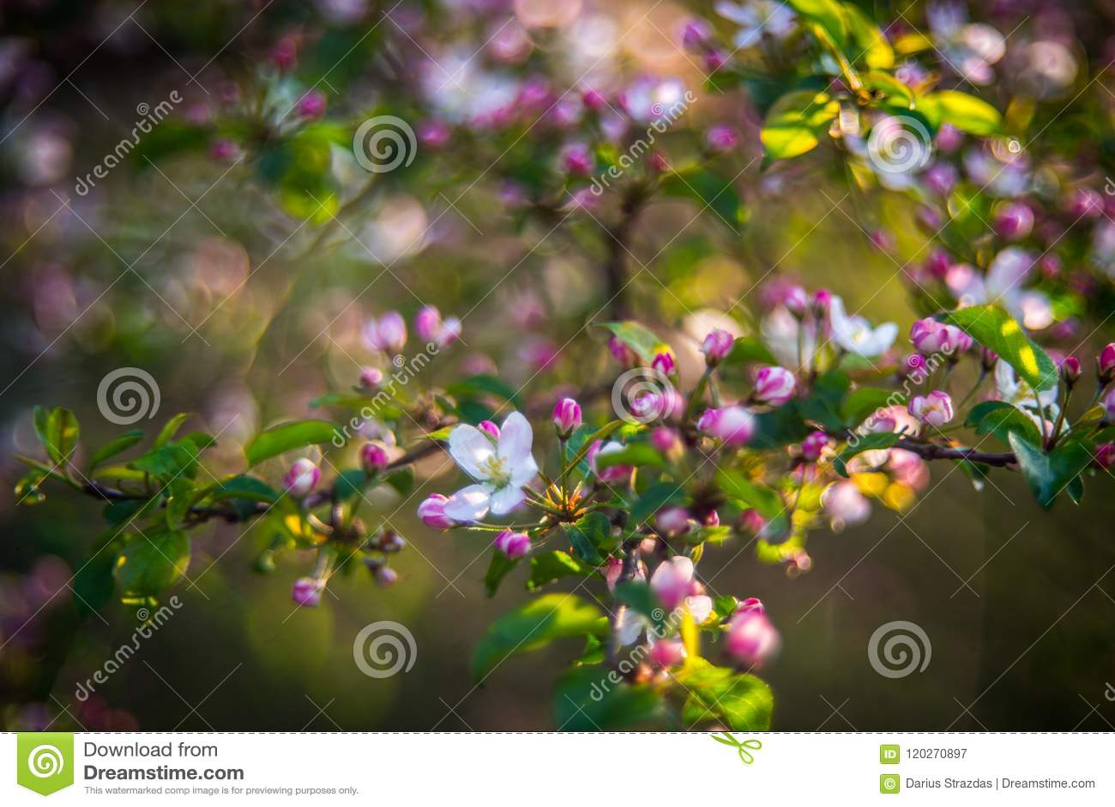 Apple tree blooming in pink