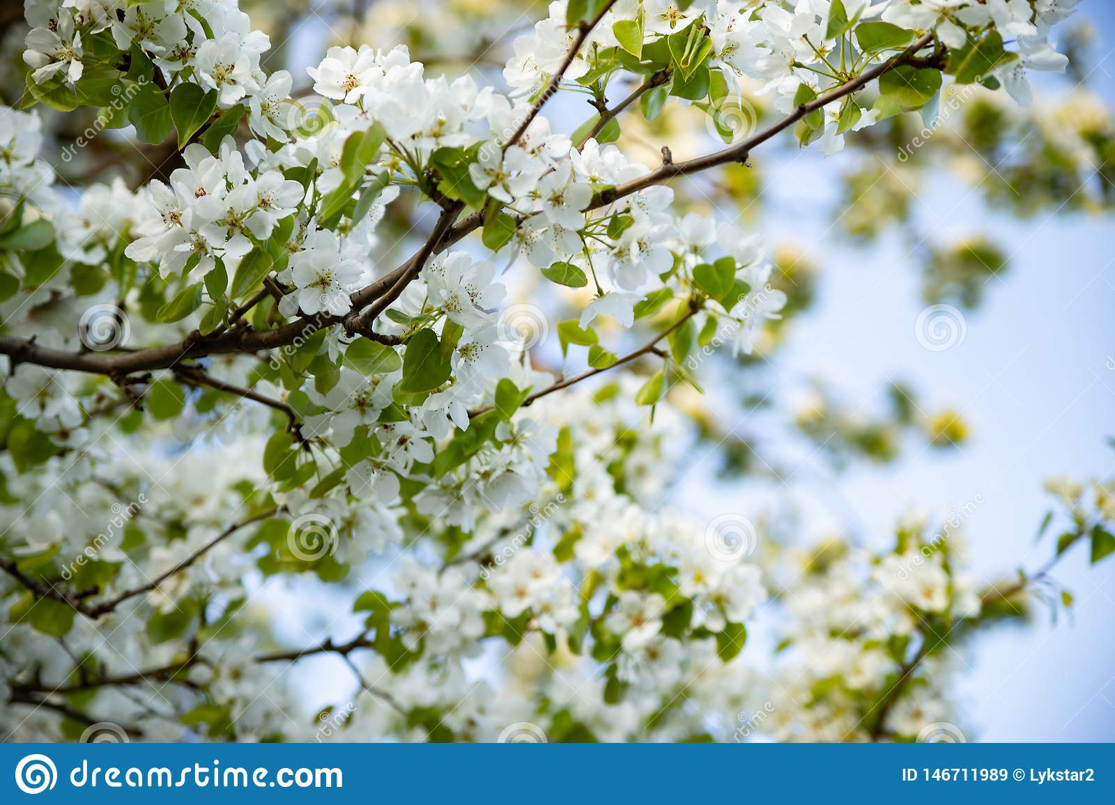 Apple tree blooming with white flowers against the blue sky