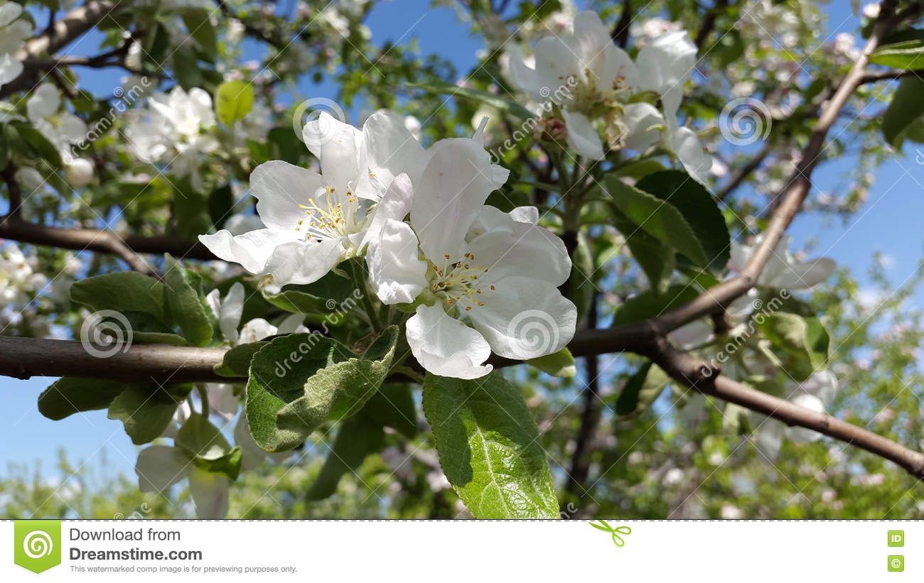 Apple Tree Blooms White Flowers Stock Image Image Of Flora