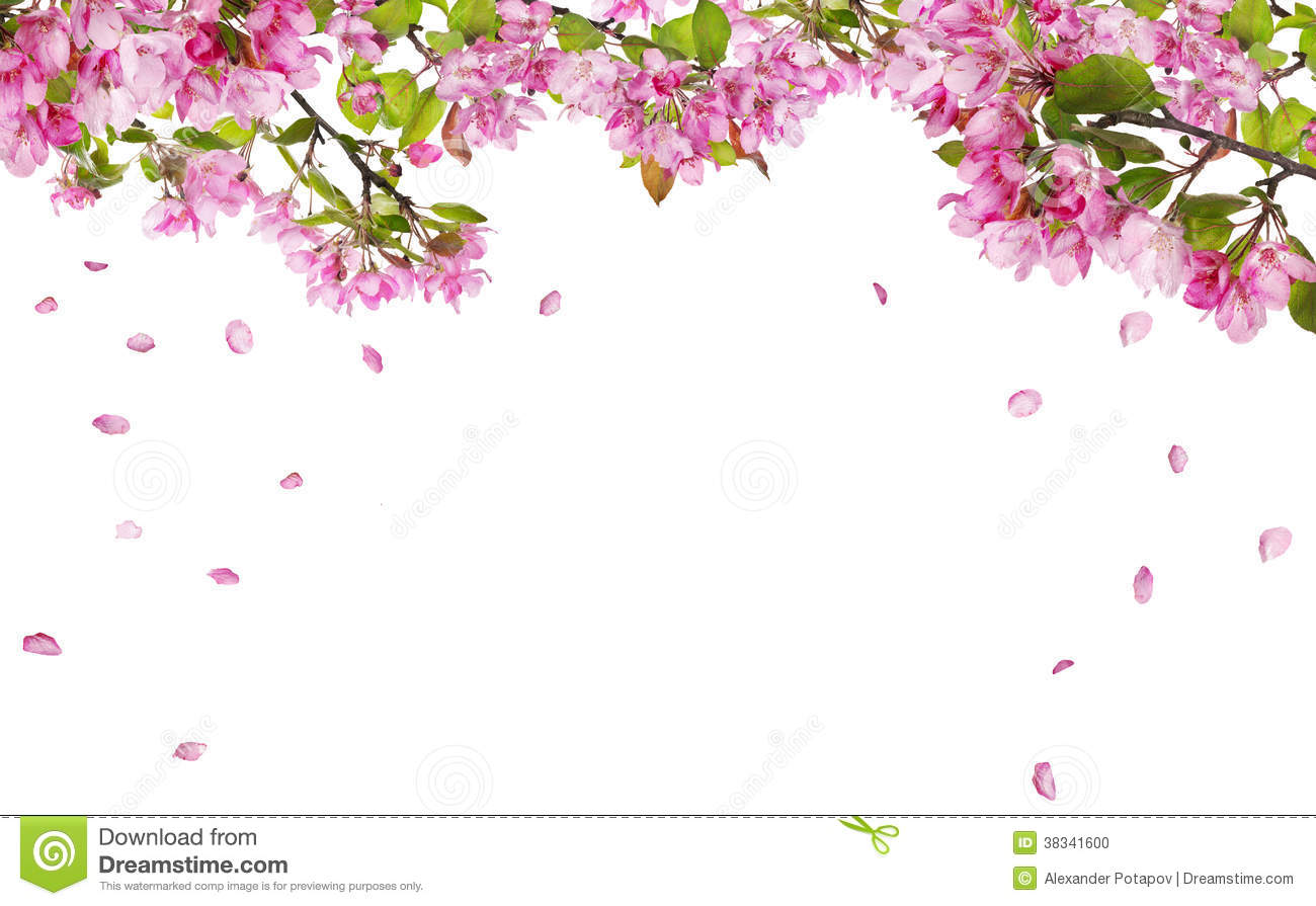 Apple Tree Blossom Branches And Falling Petals Stock Photo - Image ...