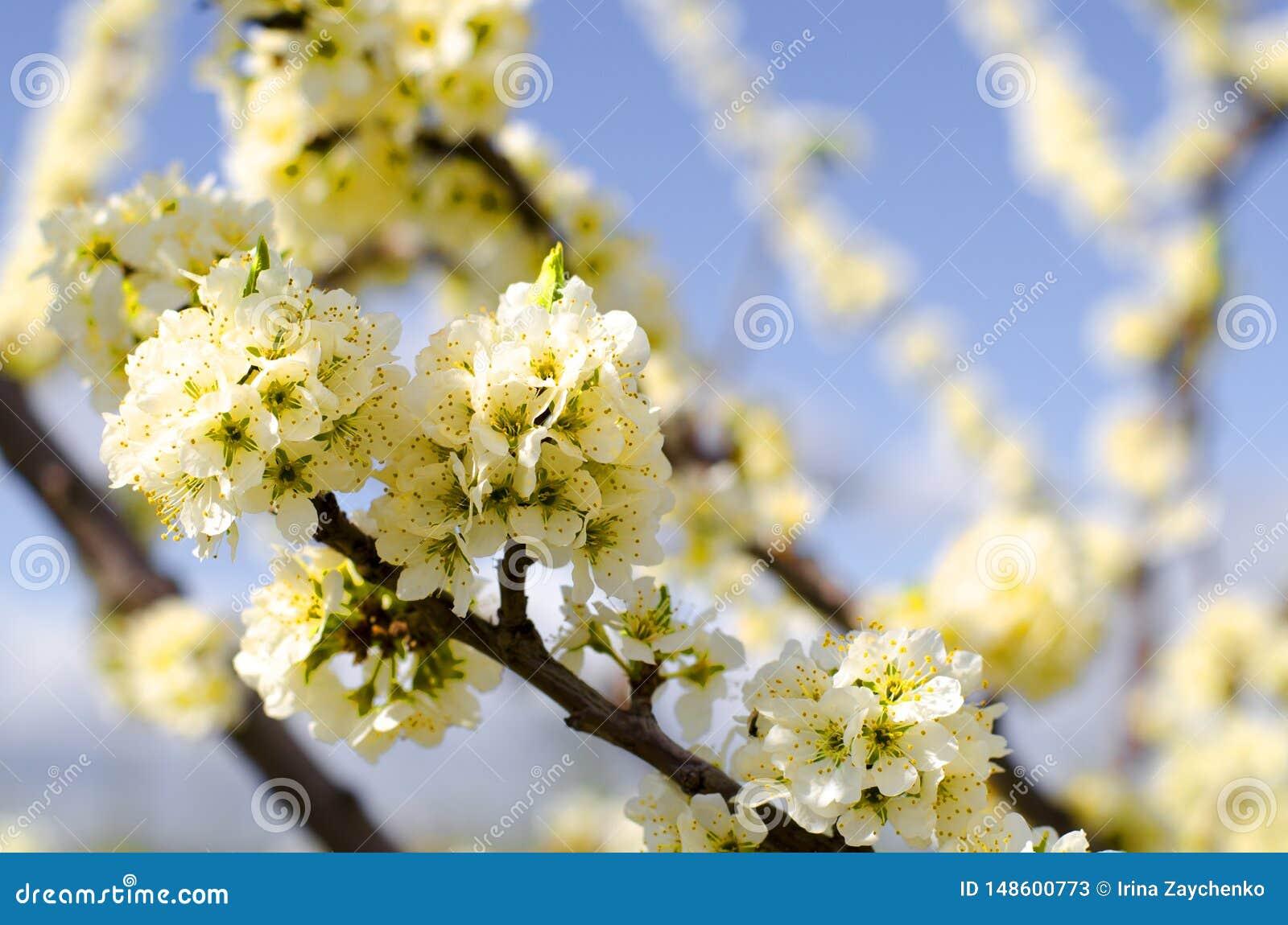 Apple tree blossom on blue sky