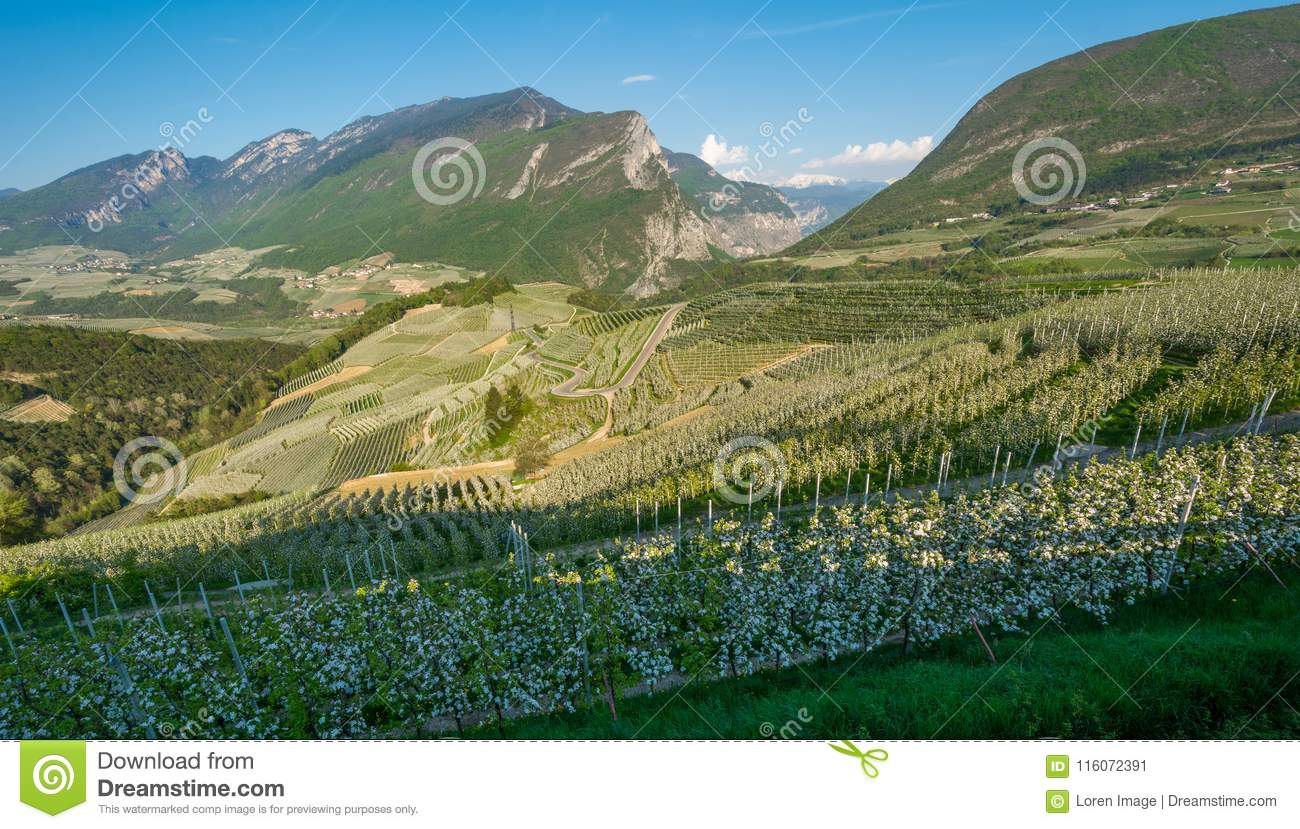Apple tree blossom. Apple Orchards in spring time in the countryside of Non Valley Val di Non, Trentino Alto Adige, northern Ita