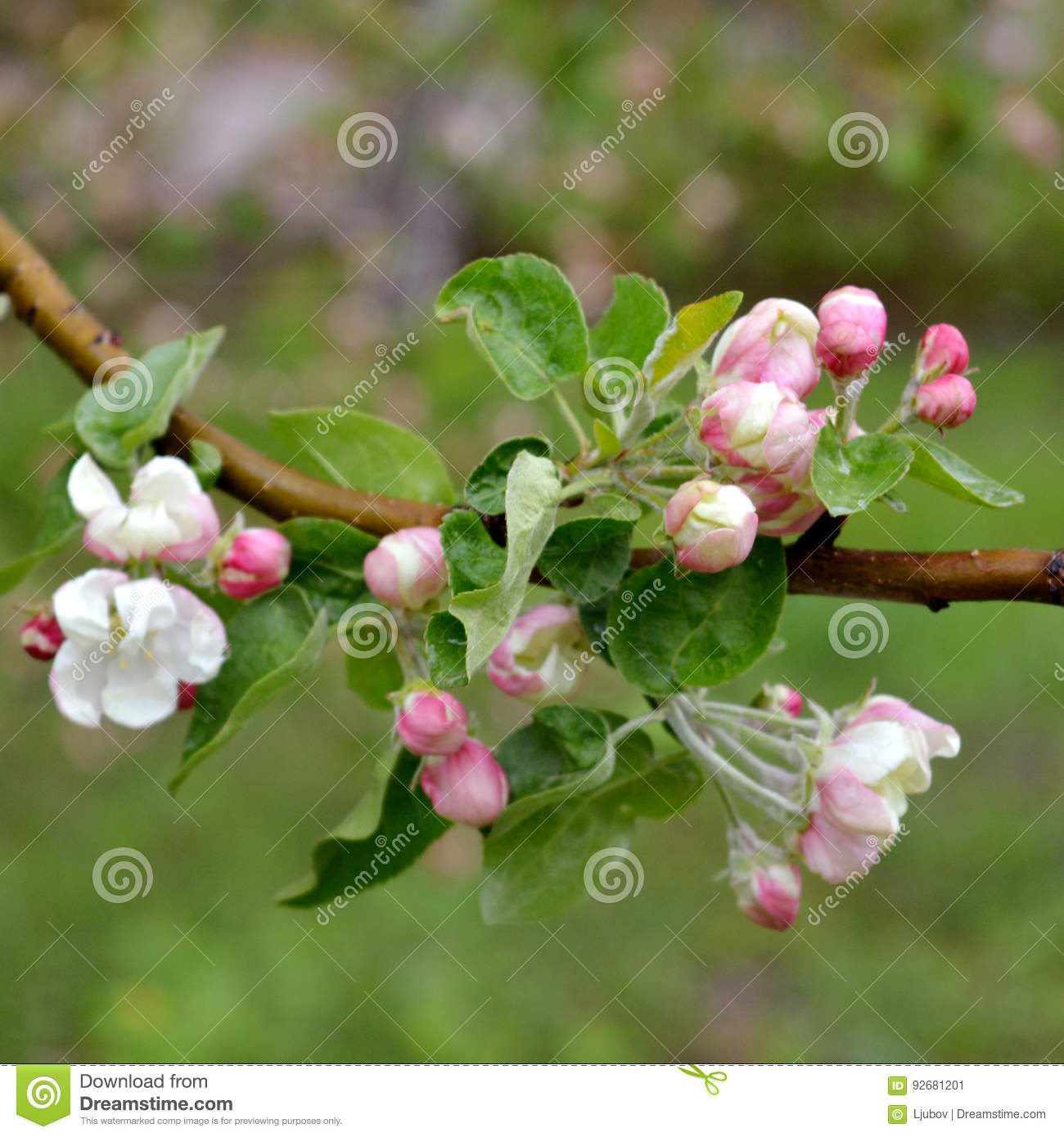 Apple Tree Blossom In Spring White And Pink Flowers Stock Image